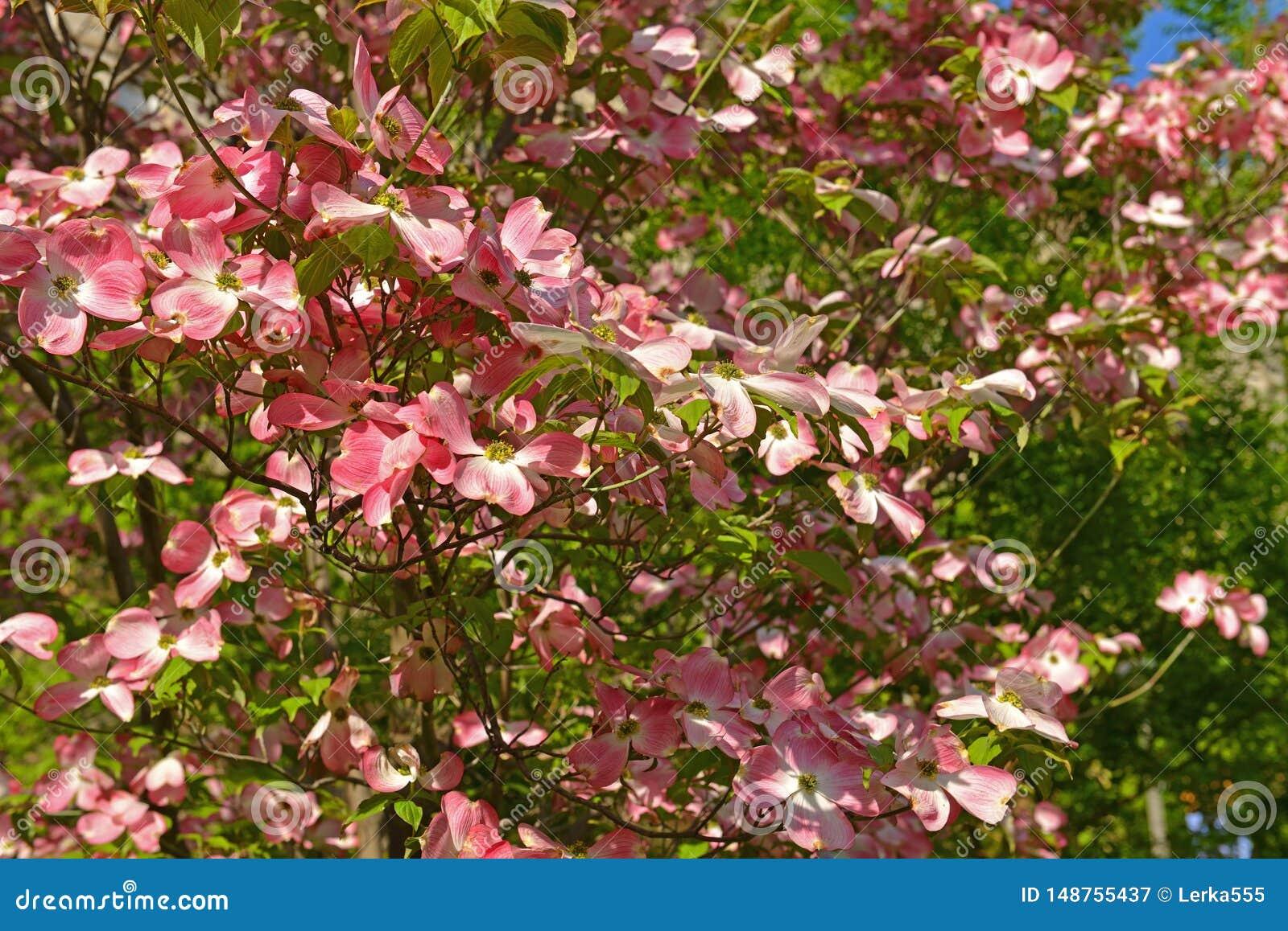 Cornouiller Rose, Type D'arbre De Floraison Qui Produit Les