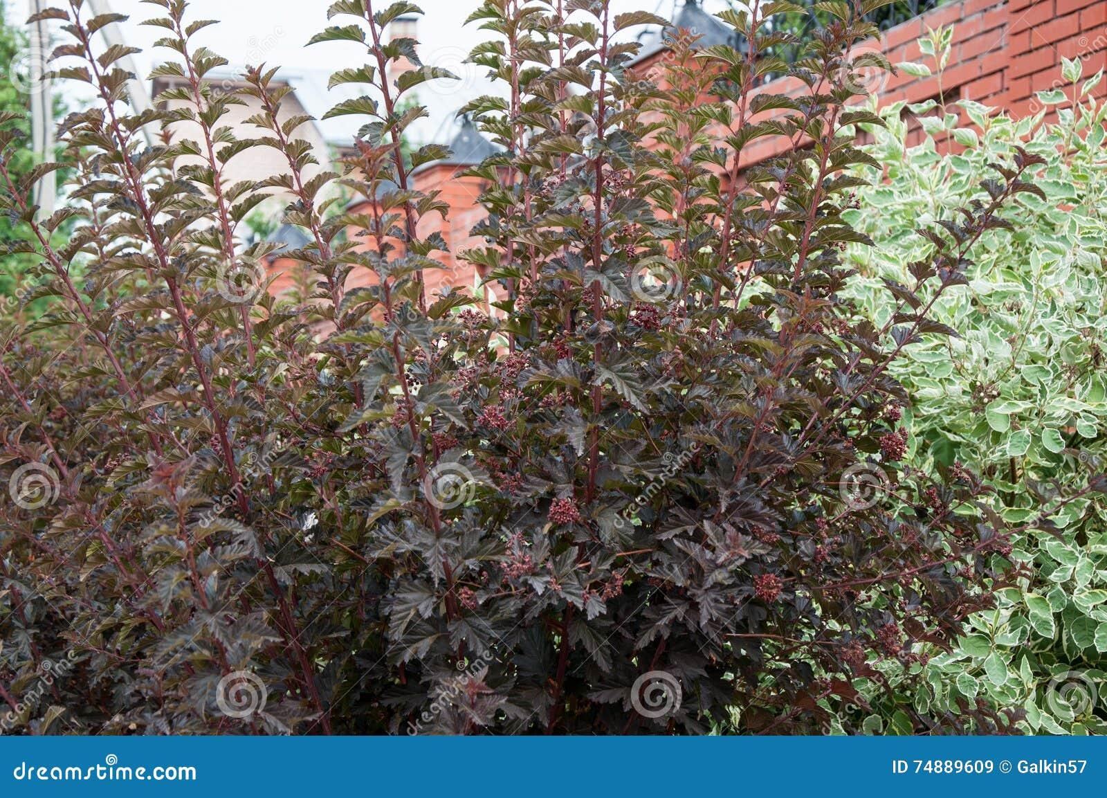 Cornus alba e o sanguinea do Cornus no projeto do jardim
