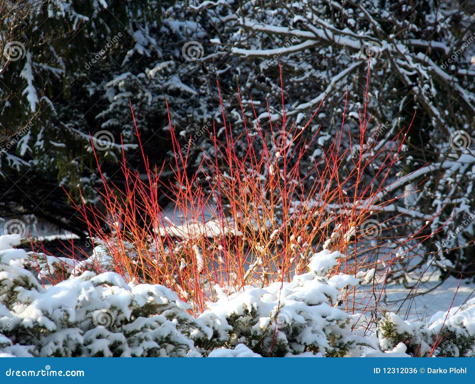 Cornus Or Dogwood In Winter Time Stock Photo Image Of
