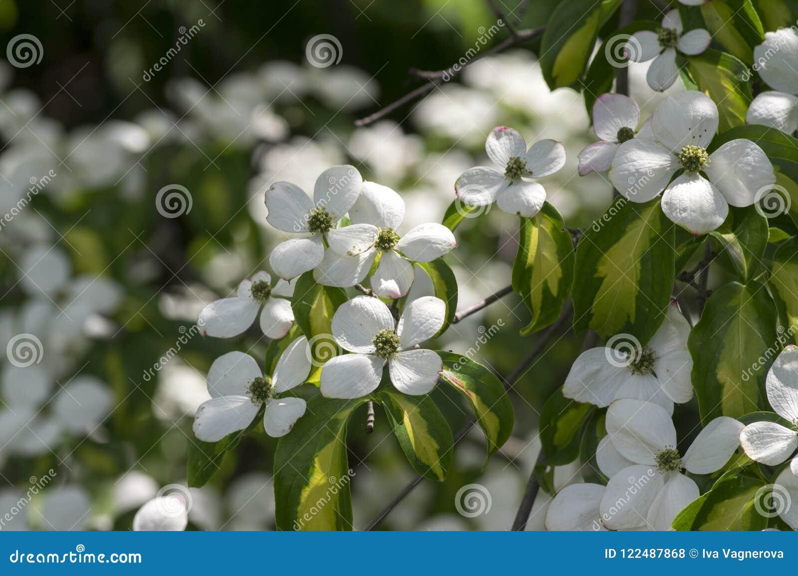 Cornus Kousa Ornamental And Beautiful Flowering Shrub Bright White