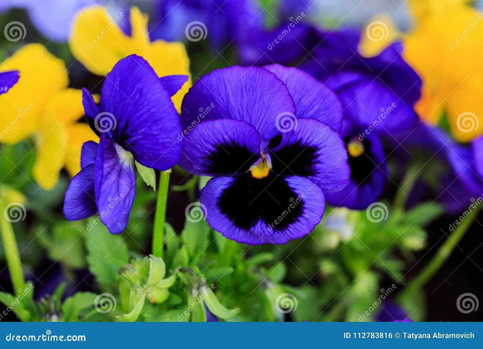Cornuta D Alto Pensee Tuftee Fleurs Colorees Des Violettes Photo