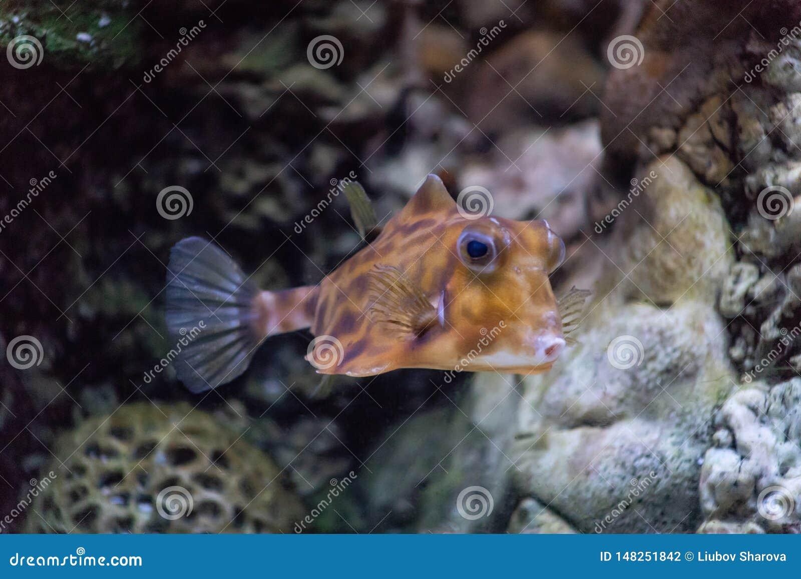 Cornuta ordinaire à cornes un de Lactoria de carrosserie des poissons les plus amusants vivant dans les eaux chaudes du Pacifique