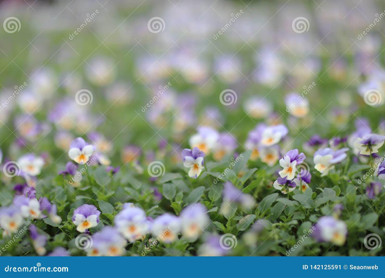 Cornuta Viola, κερασφόρος pansy, σχηματισμένος τούφες pansy