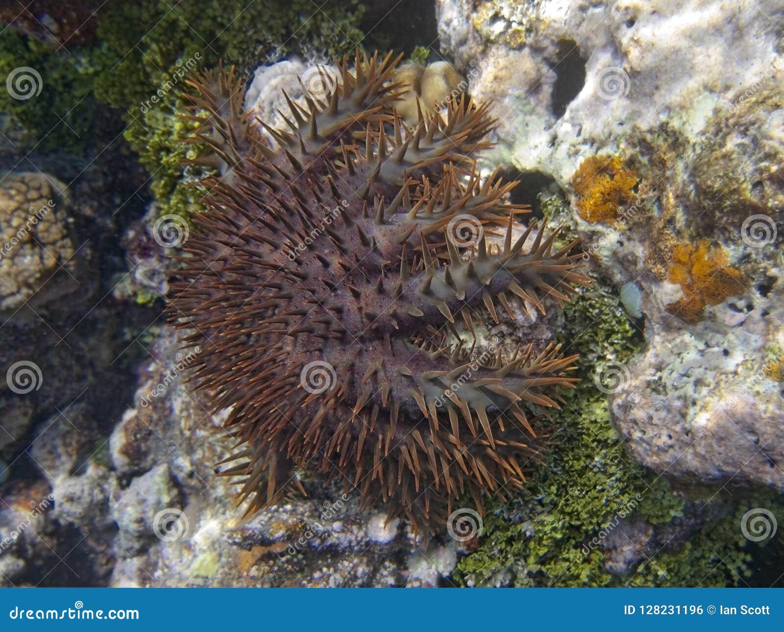 Corona de las estrellas de mar de la espina