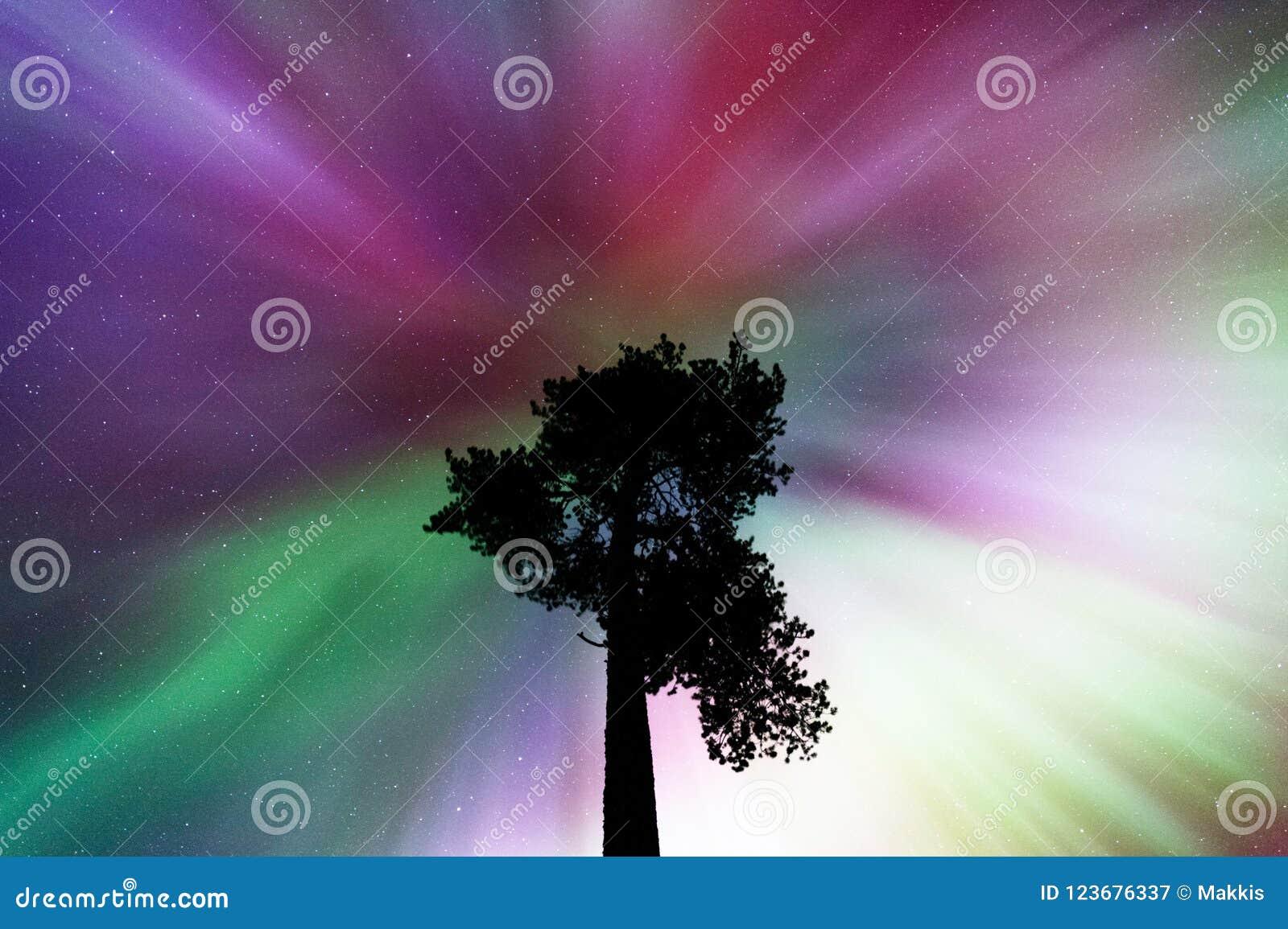 Corona di aurora borealis sopra il vecchio pino scozzese