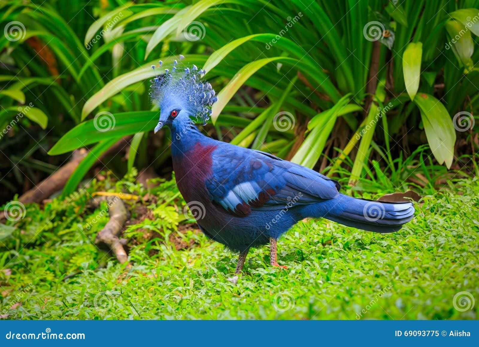 Coronar-paloma victoriana occidental