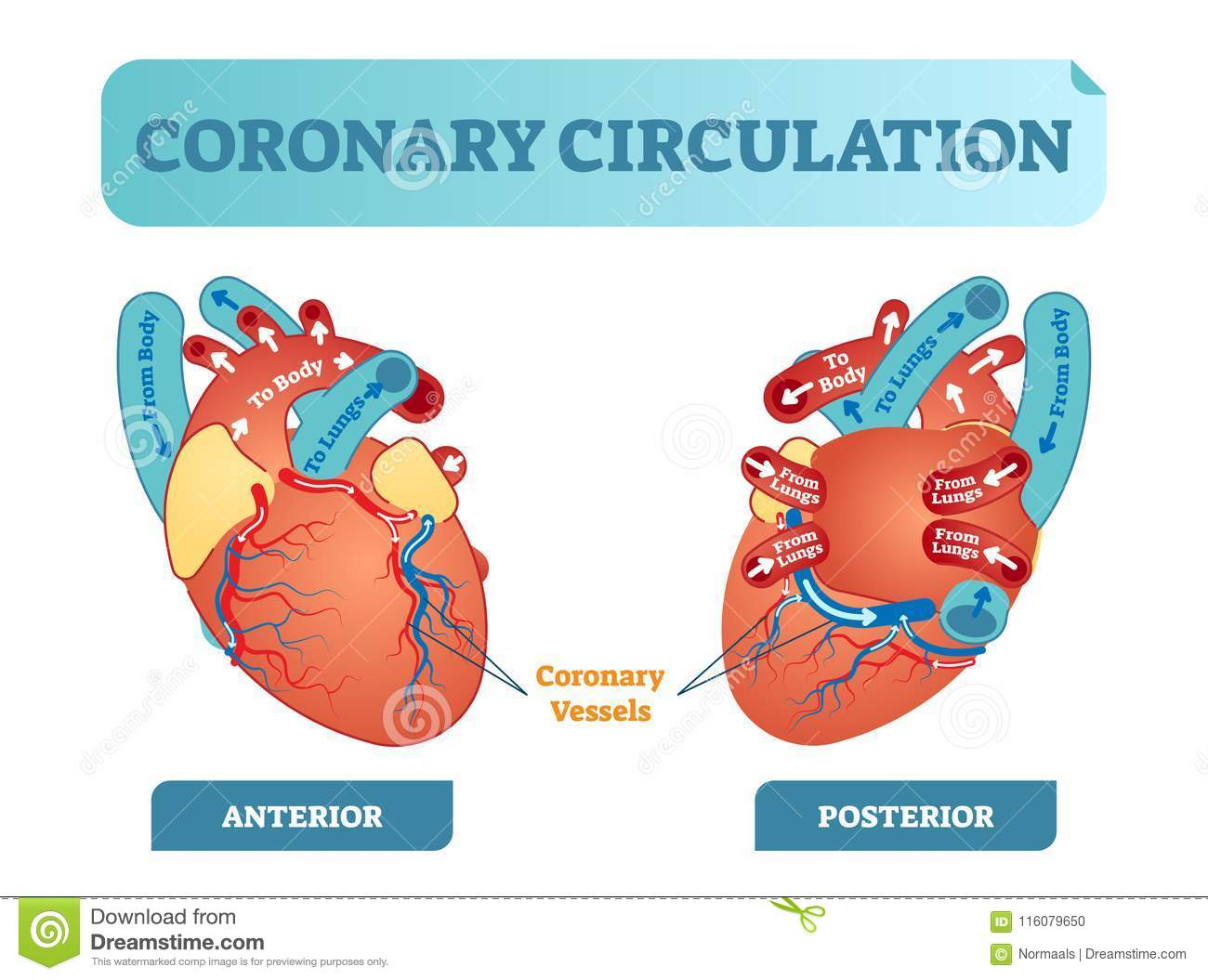 Coronary Circulation Anatomical Cross Section Diagram, Labeled ...