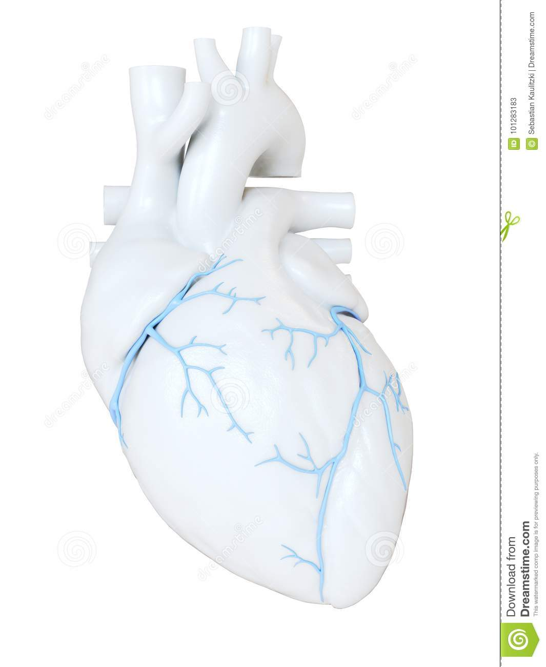 The coronary veins stock illustration. Illustration of cardiology ...