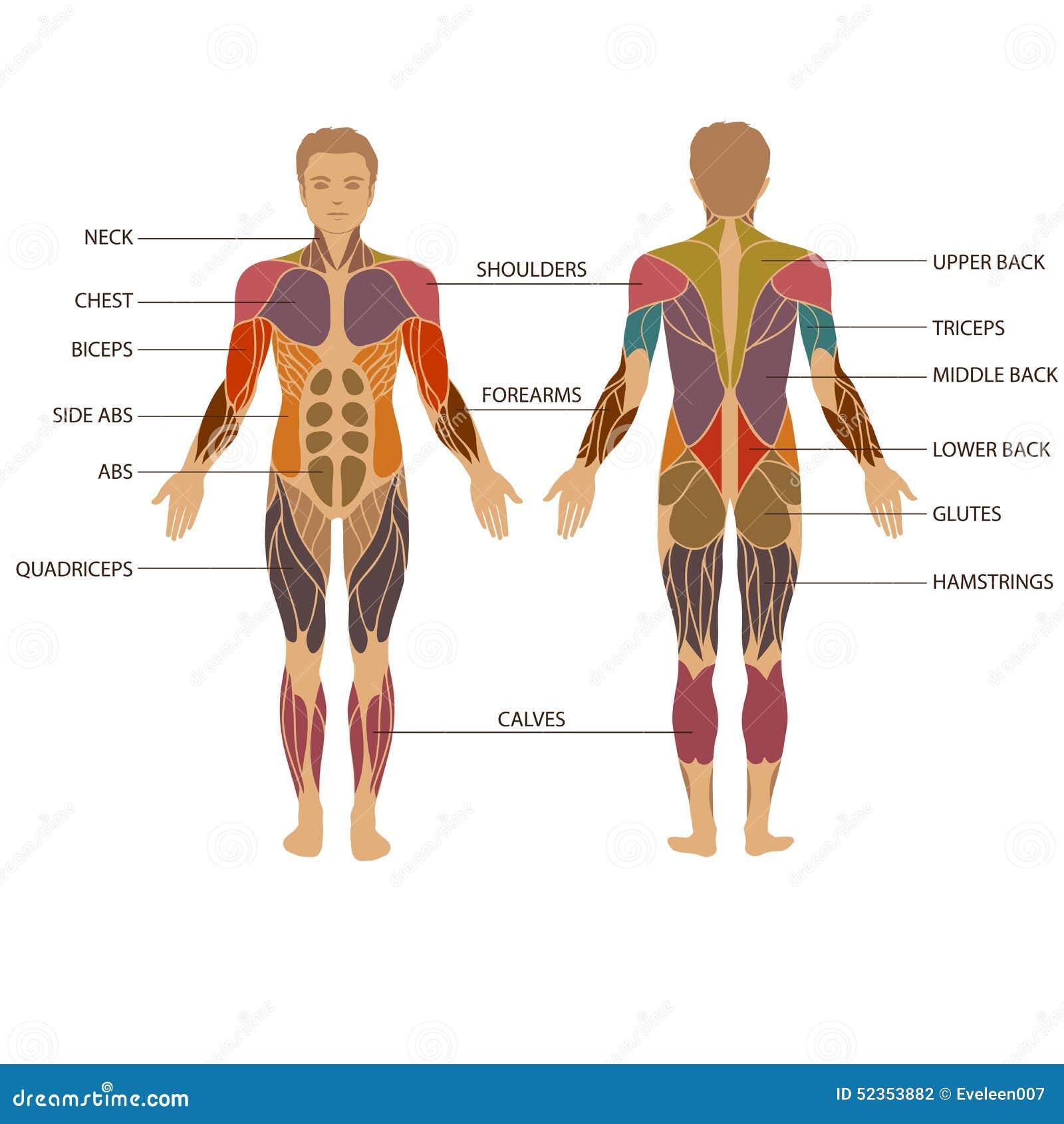 Corpo umano, muscolo