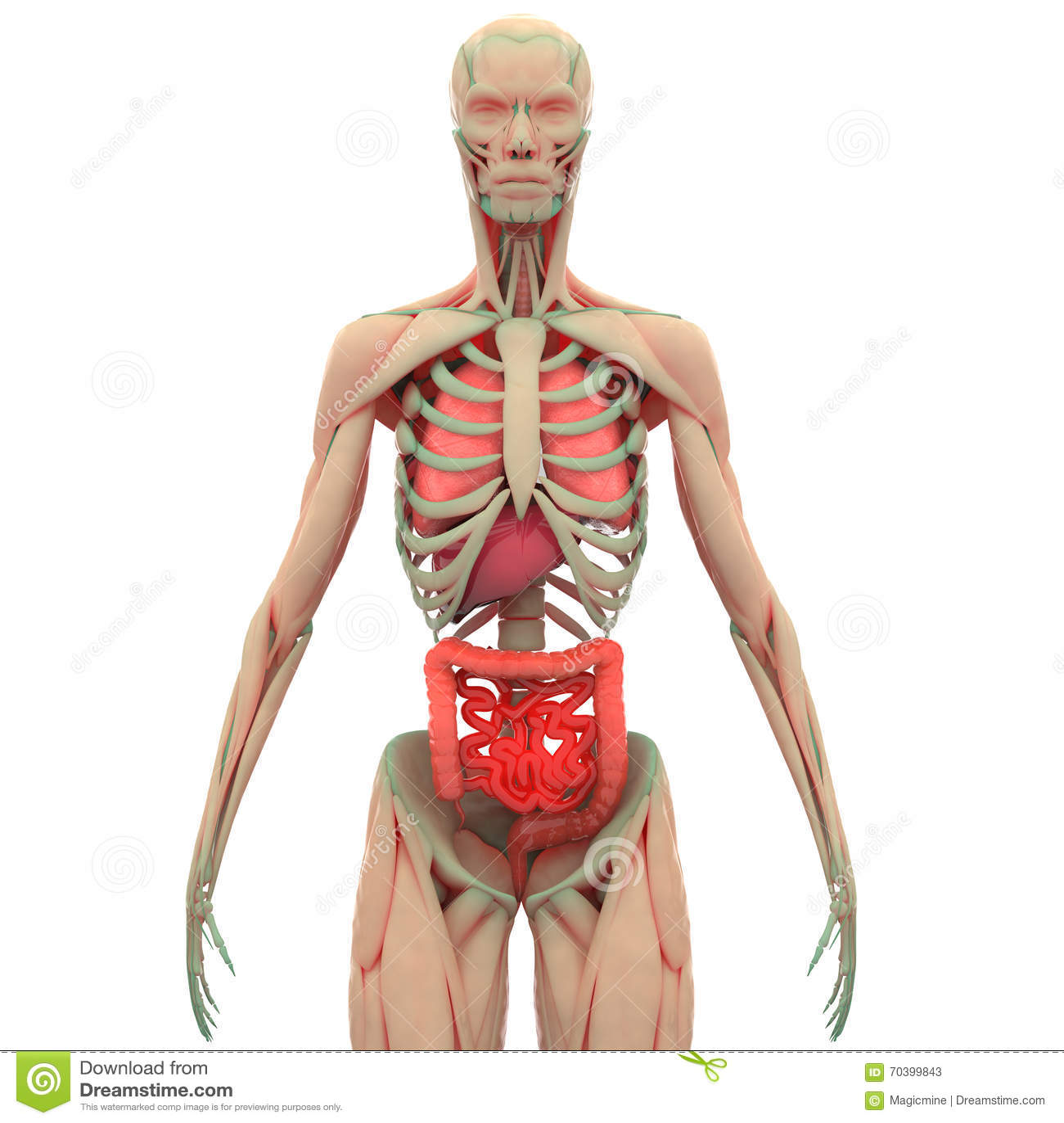 Extrem Corps Humain De Muscle Avec Des Organes (poumons, Foie, Grand Et  TI32