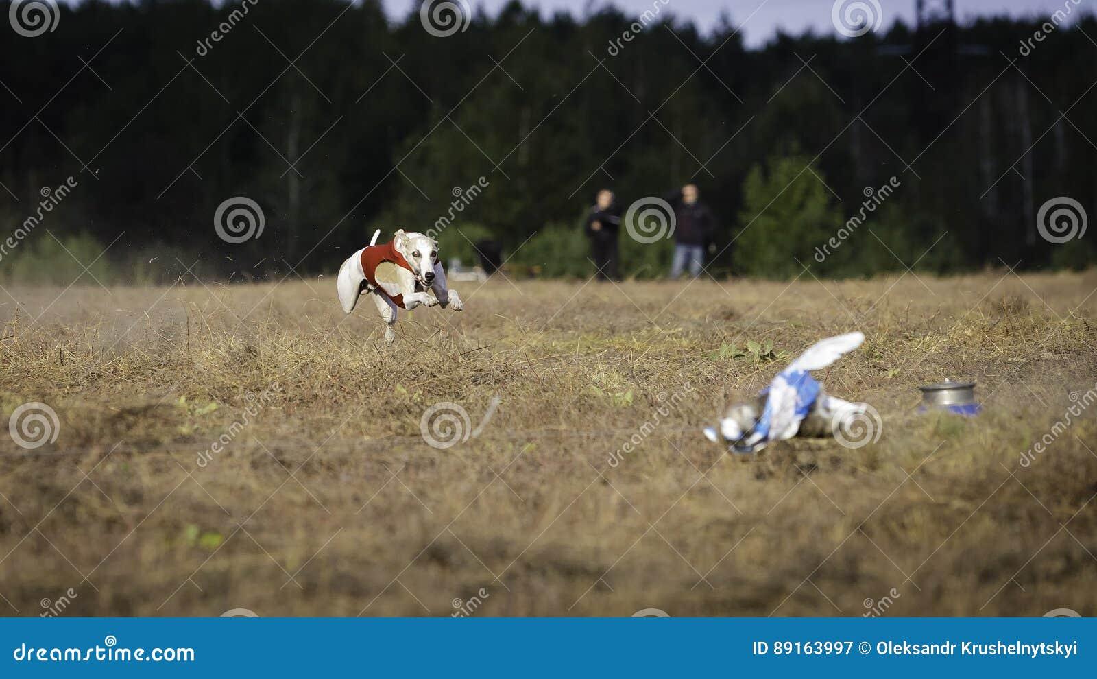 Corredor do cão do cão de corrida Percurso, paixão e velocidade