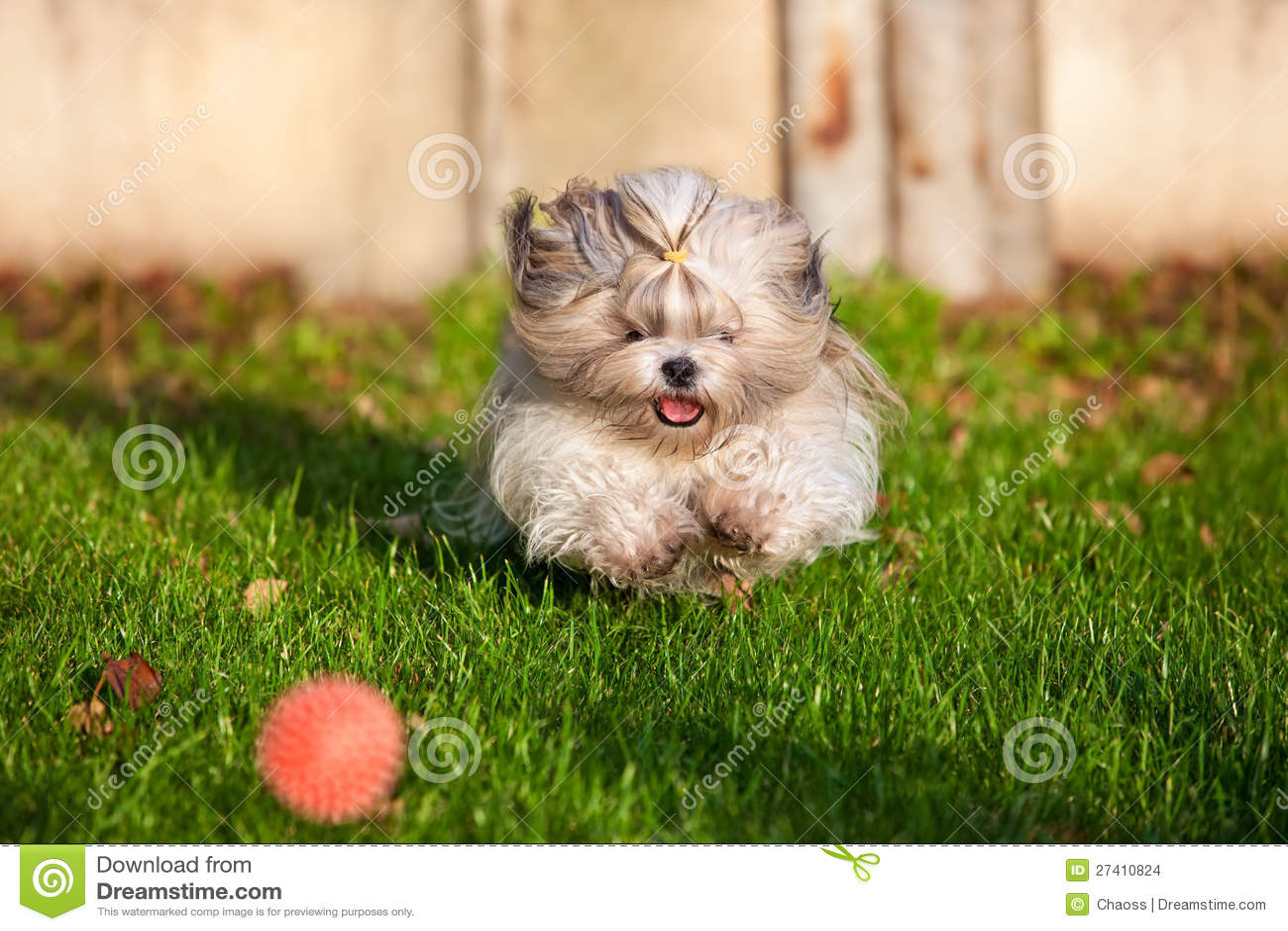 Corredor do cão do tzu de Shih