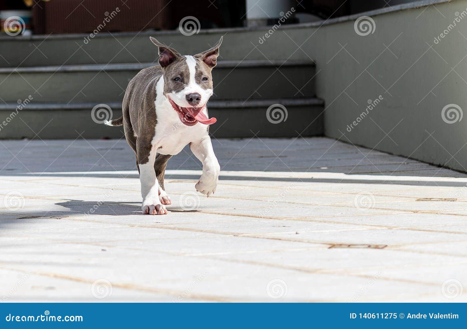 Corredor do cachorrinho com língua para fora