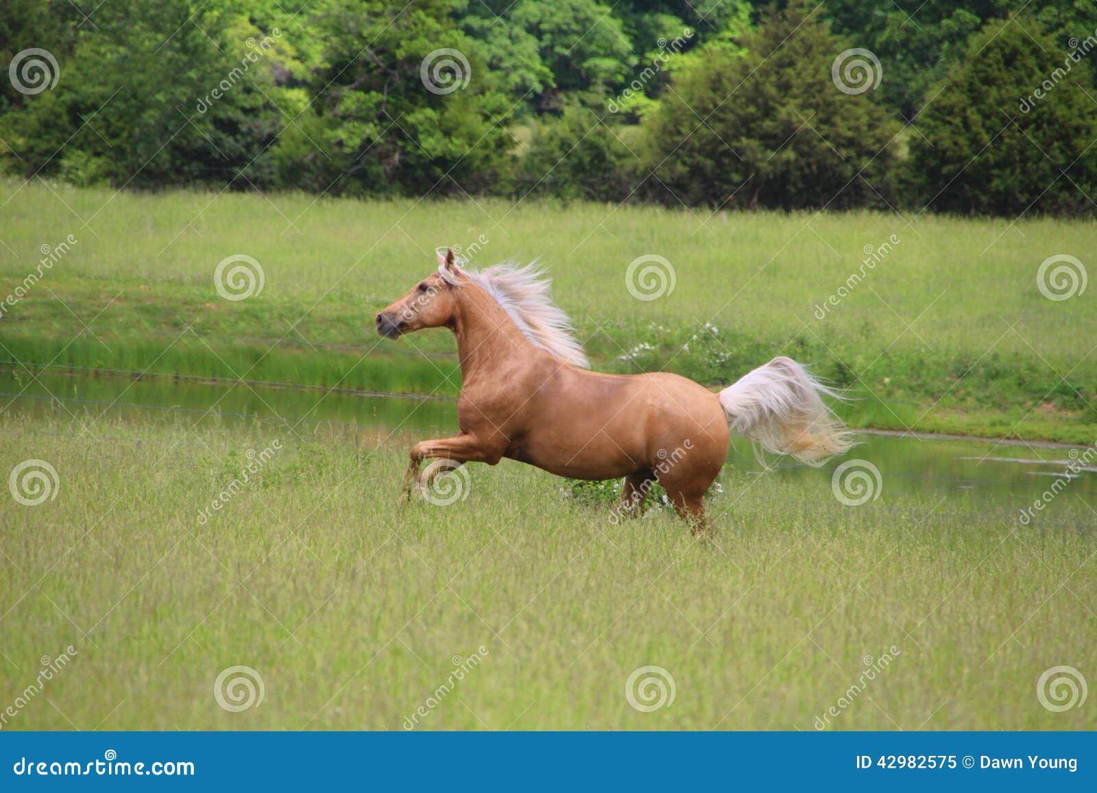 Corredor do cavalo do Palomino