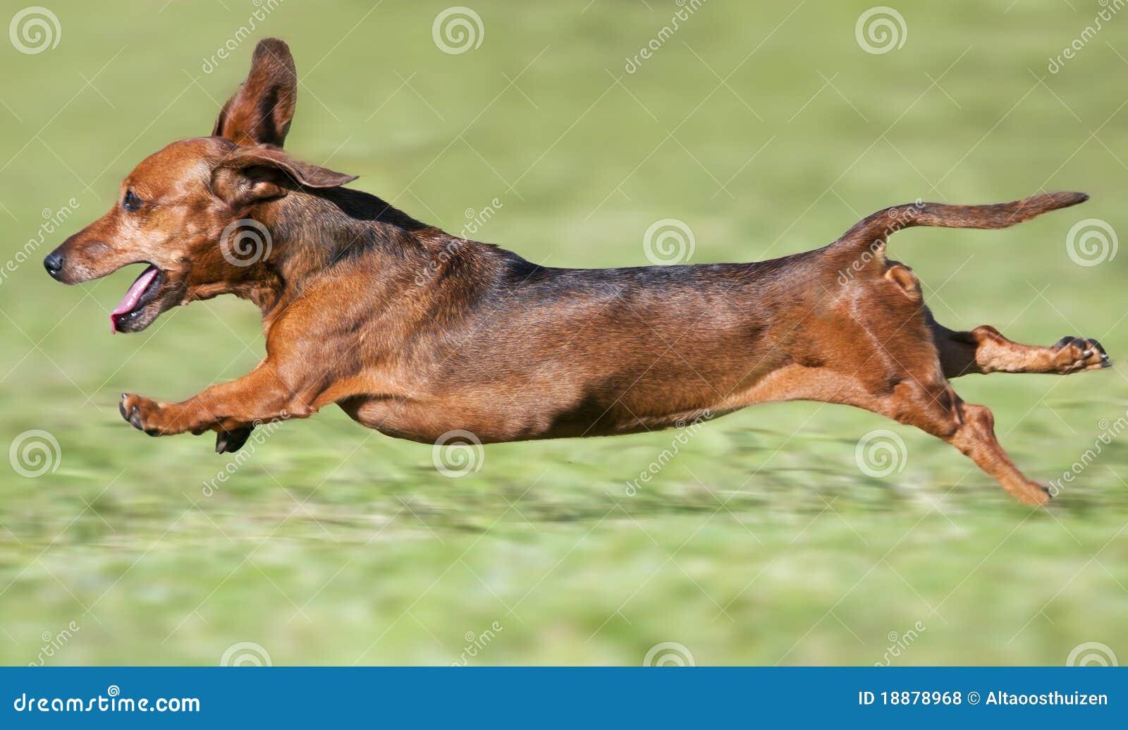 Corredor marrom pequeno do dachshund