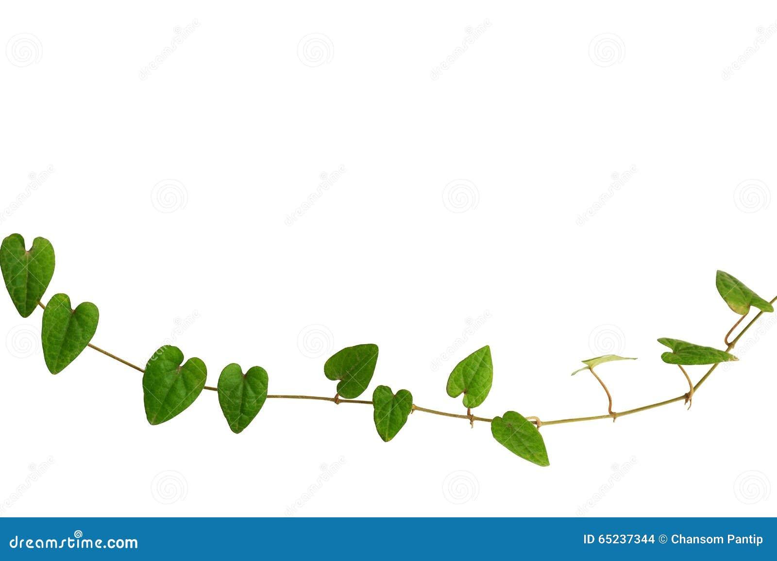 Corrente da videira verde coração-dada forma da folha, hooperianum de Raphistemma (