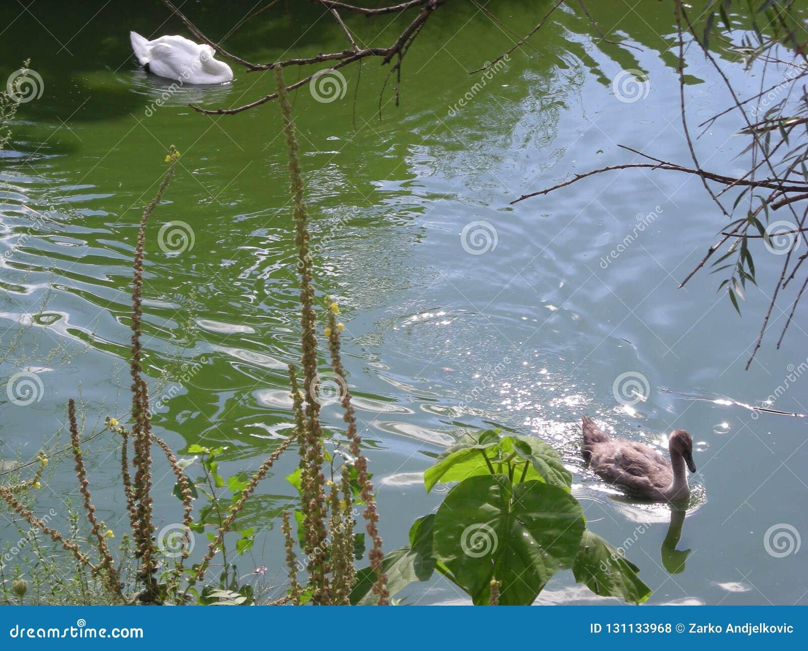 Corrida do pato da cisne