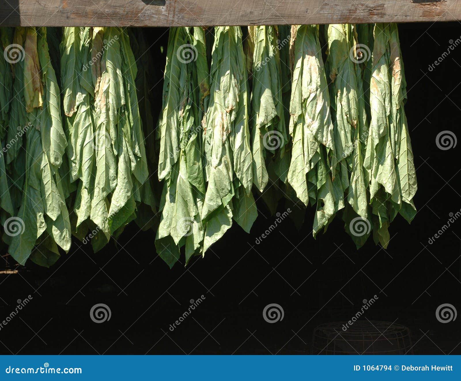 Corriger le tabac en feuilles d ombre