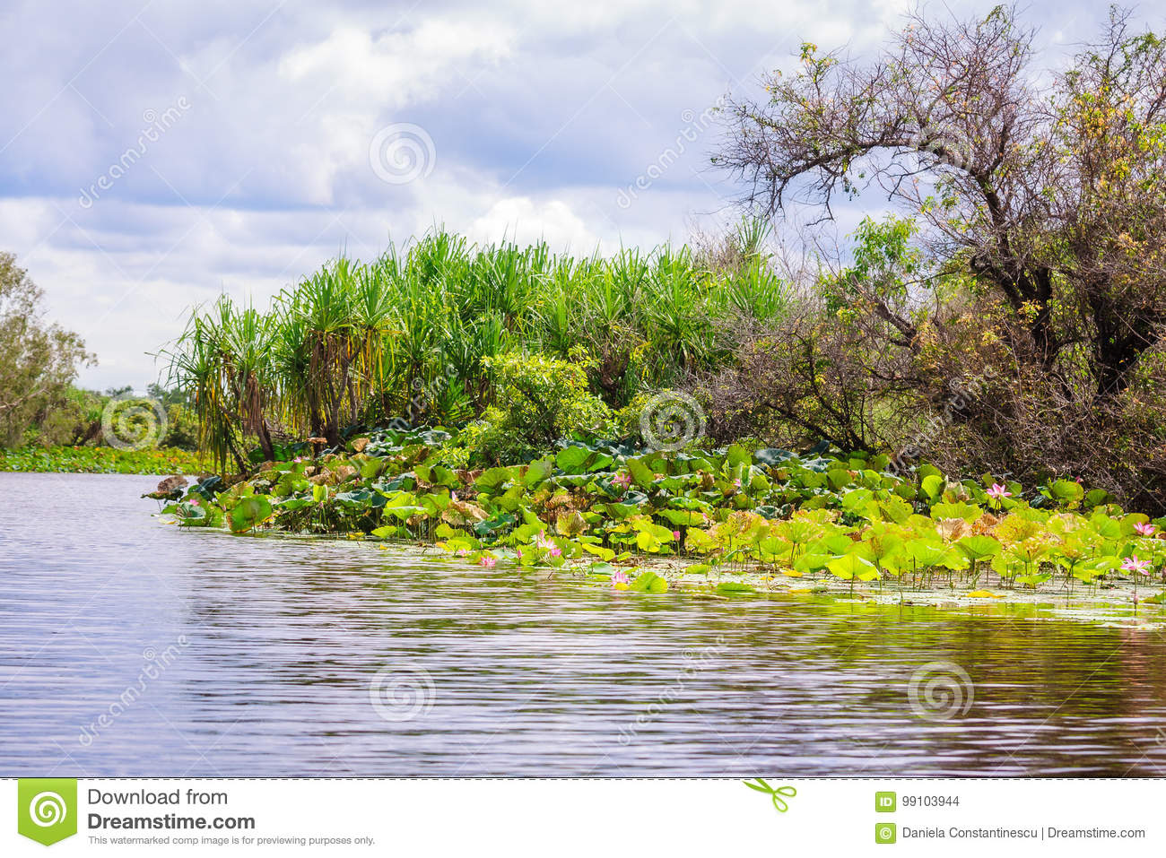 Corroboree Billabong calm waters, with its banks covered in lotuses in Nothern Territory, Australia