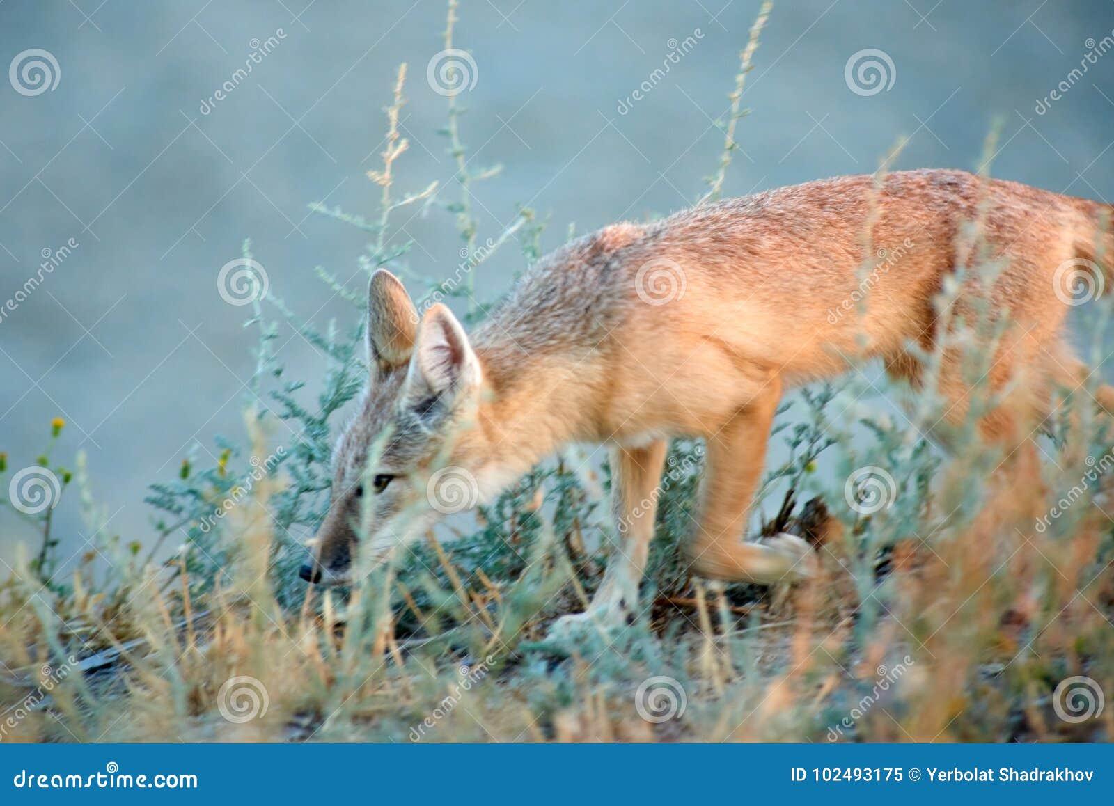 The corsac fox Vulpes corsac.