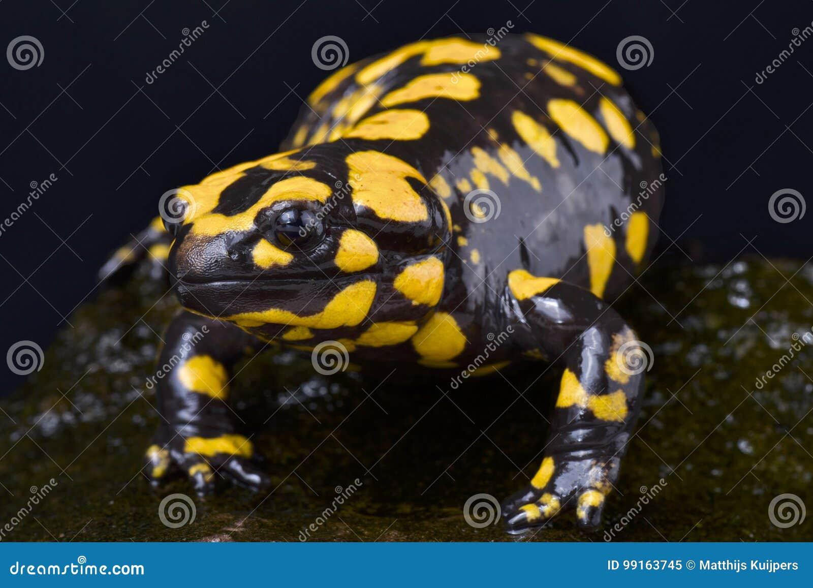 corsican fire salamander salamandra corsica stock image image of