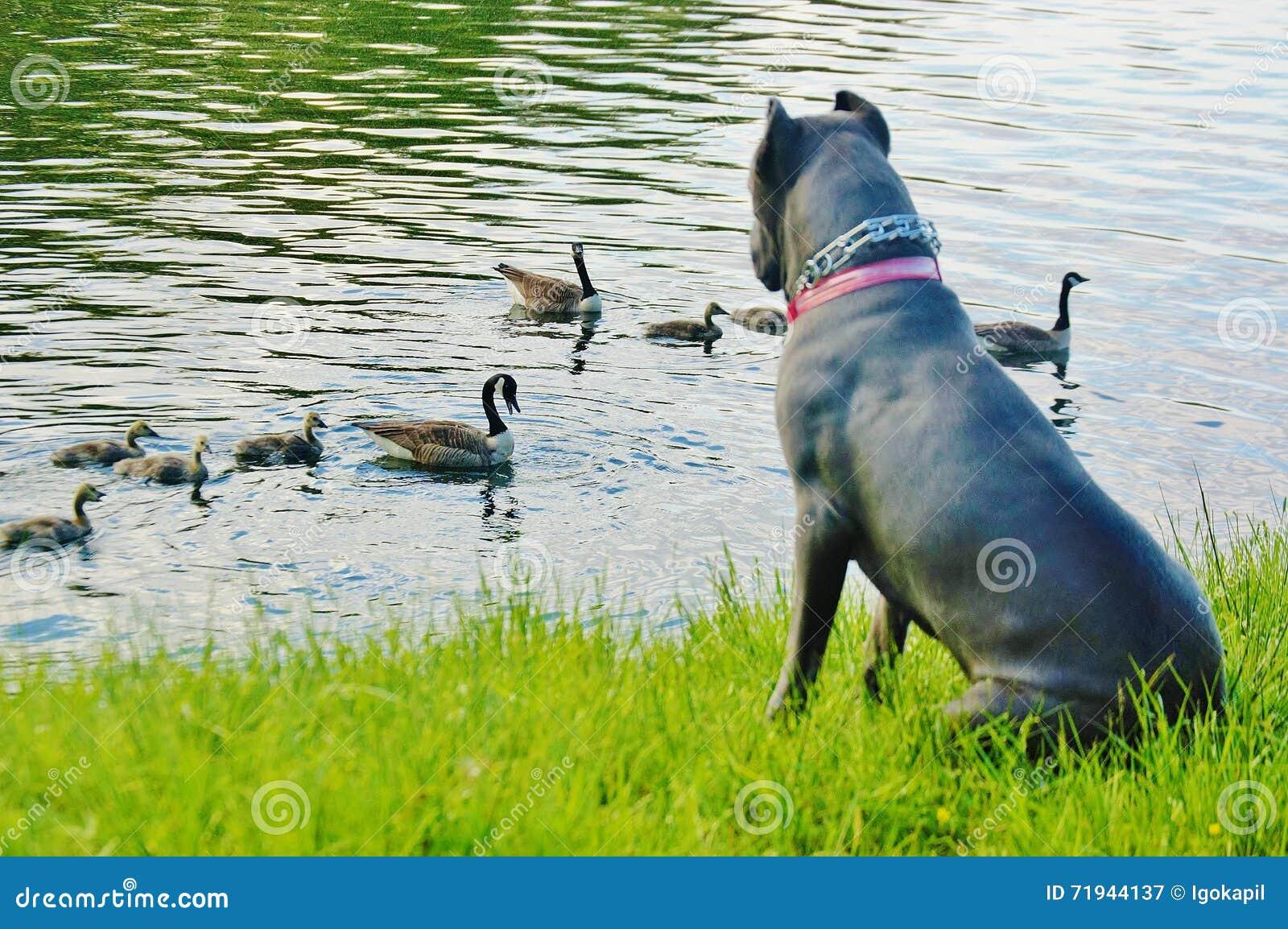 Corso тросточки озера Sebago mastiff и утки ny итальянский