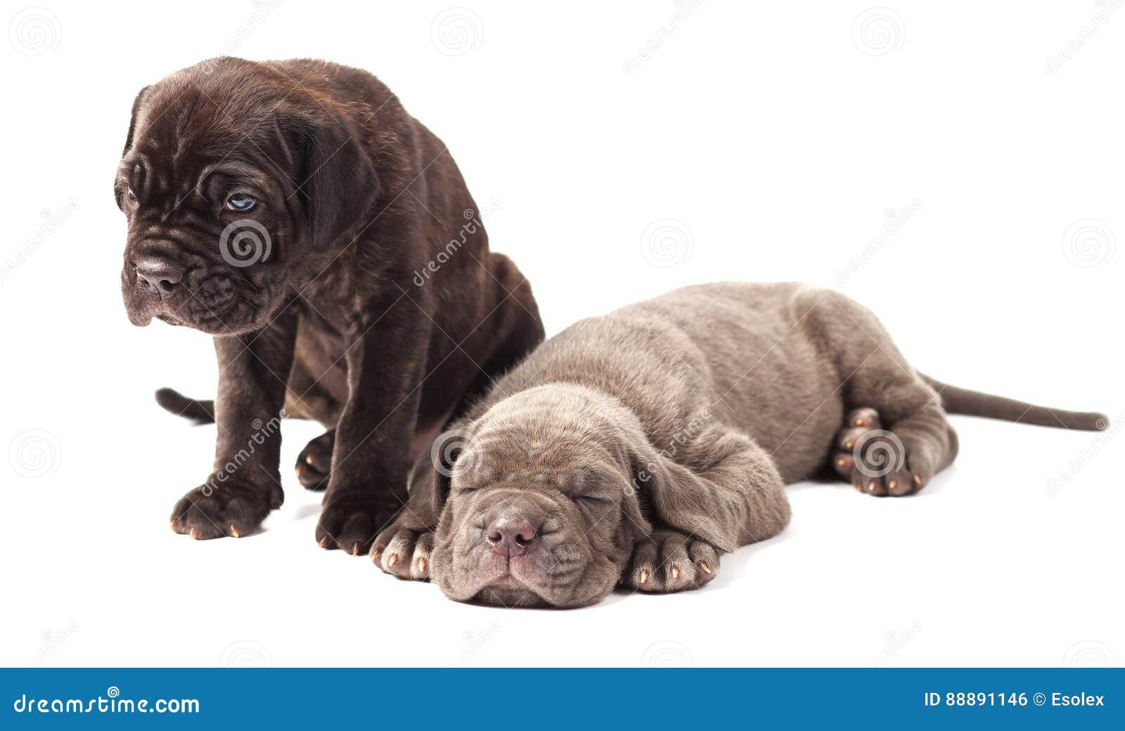 Corso italiano del bastón del mastín de dos perritos jovenes hermosos 1 mes