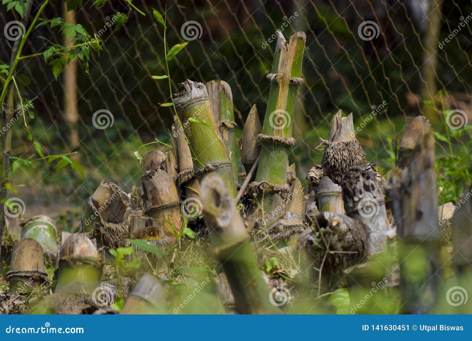 Cortando el árbol de bambú al grupo de bambú