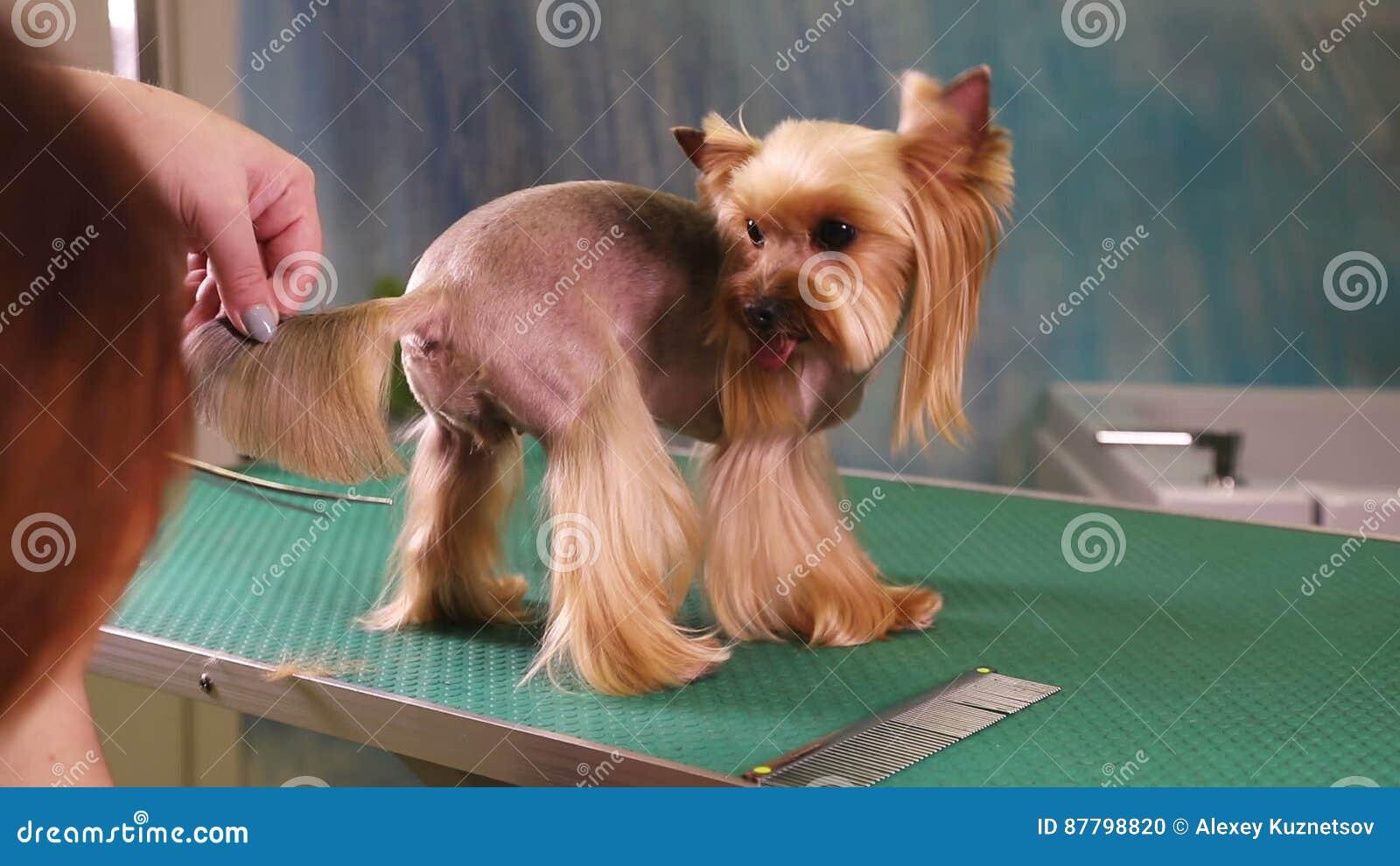 Corte De Pelo Del Perro Del Terrier De Yorkshire En El Salón