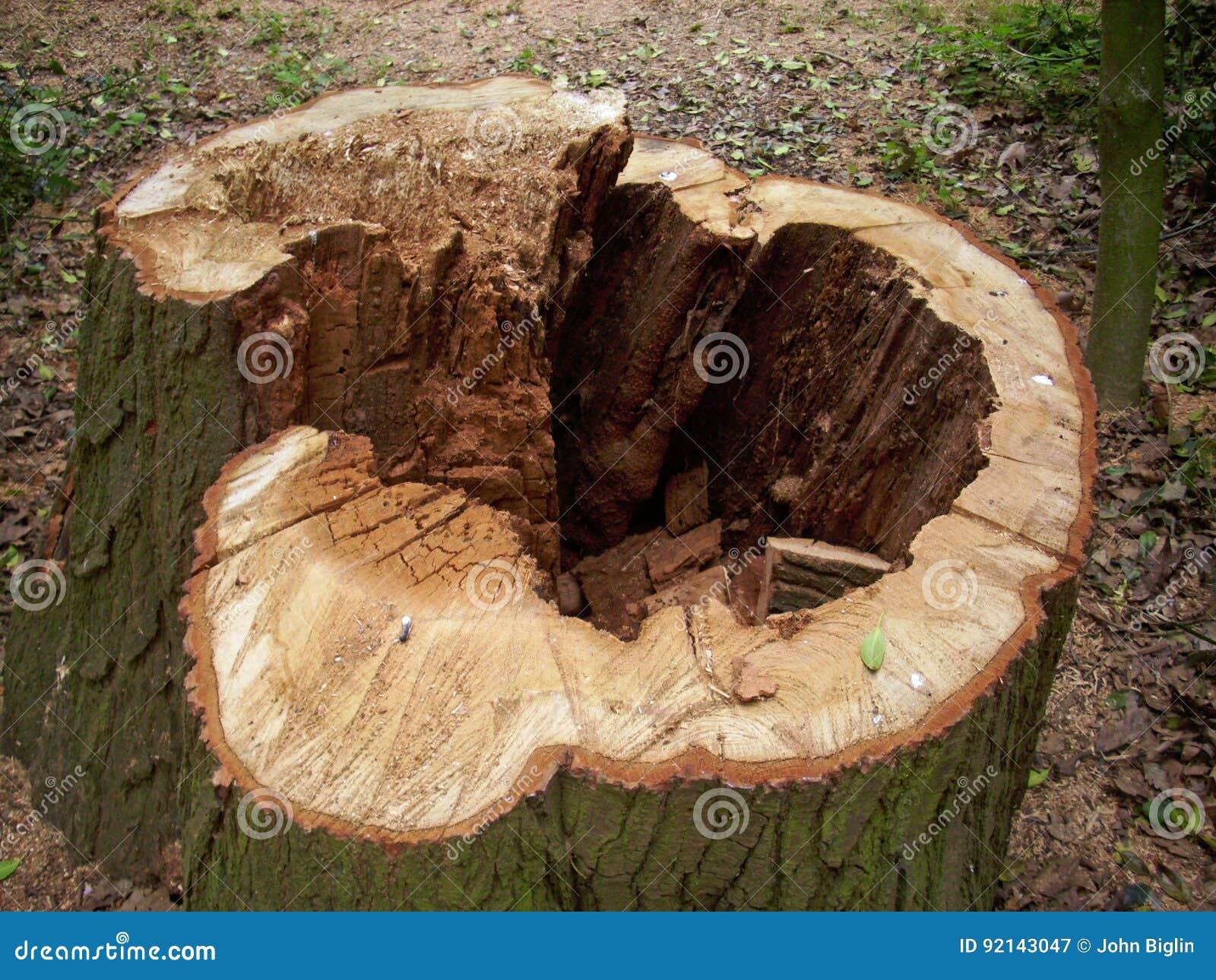 Corte el tocón de árbol putrefacto