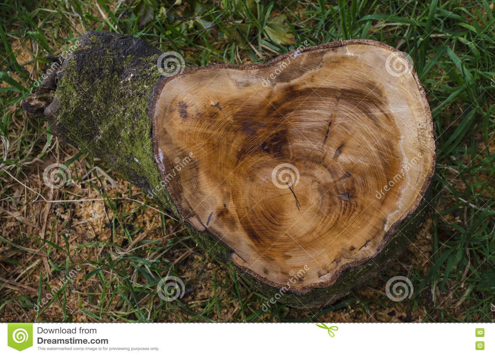 Corte el tronco de árbol que muestra los anillos y vio recientemente marcas