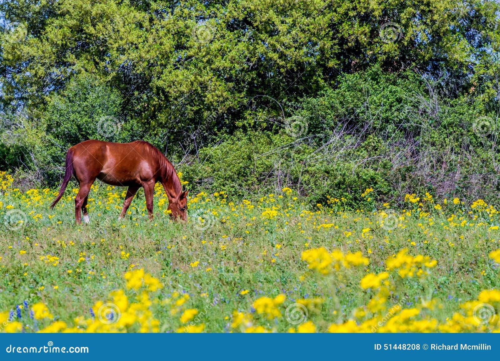 Corte a folha Groundsel (tampicana) do Packera Texas Wildf amarelo brilhante