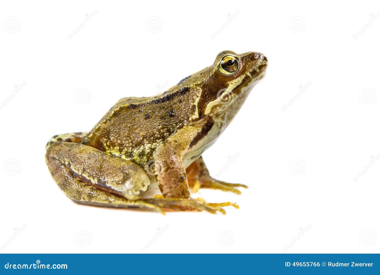 Corte la rana común