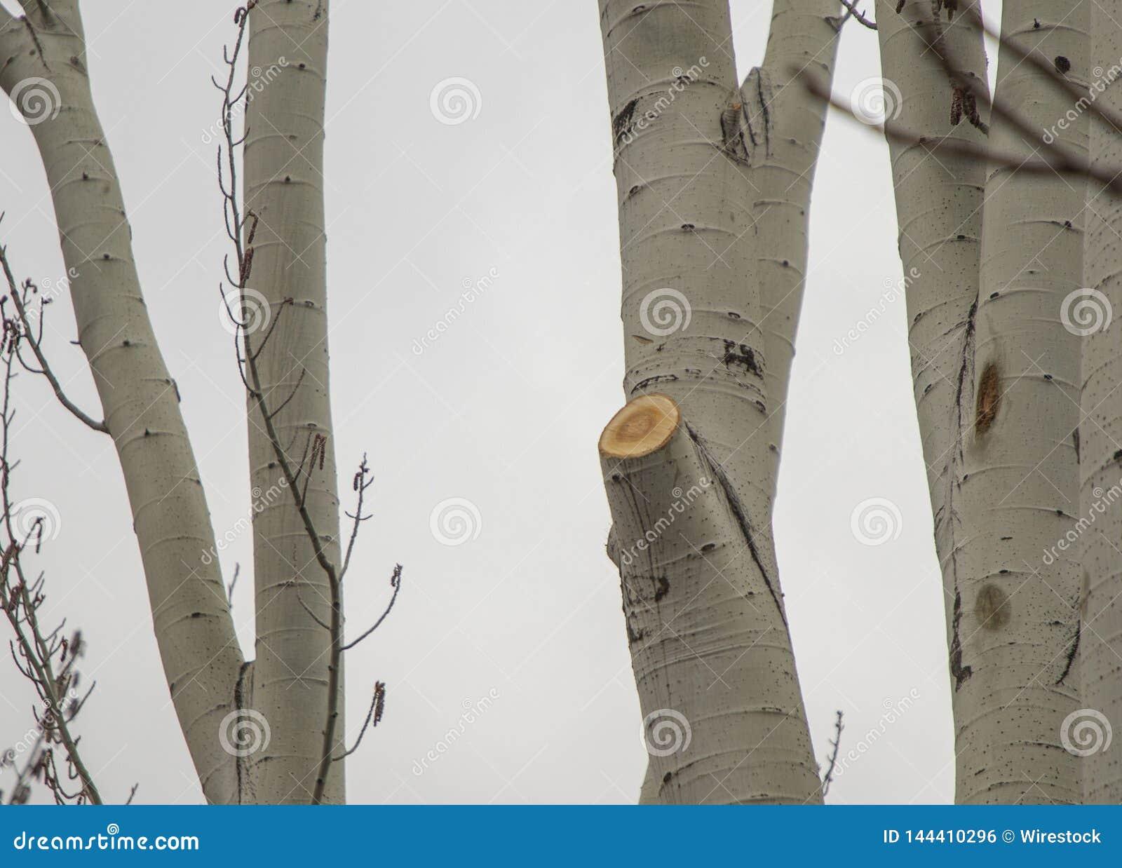Corte los árboles de abedul
