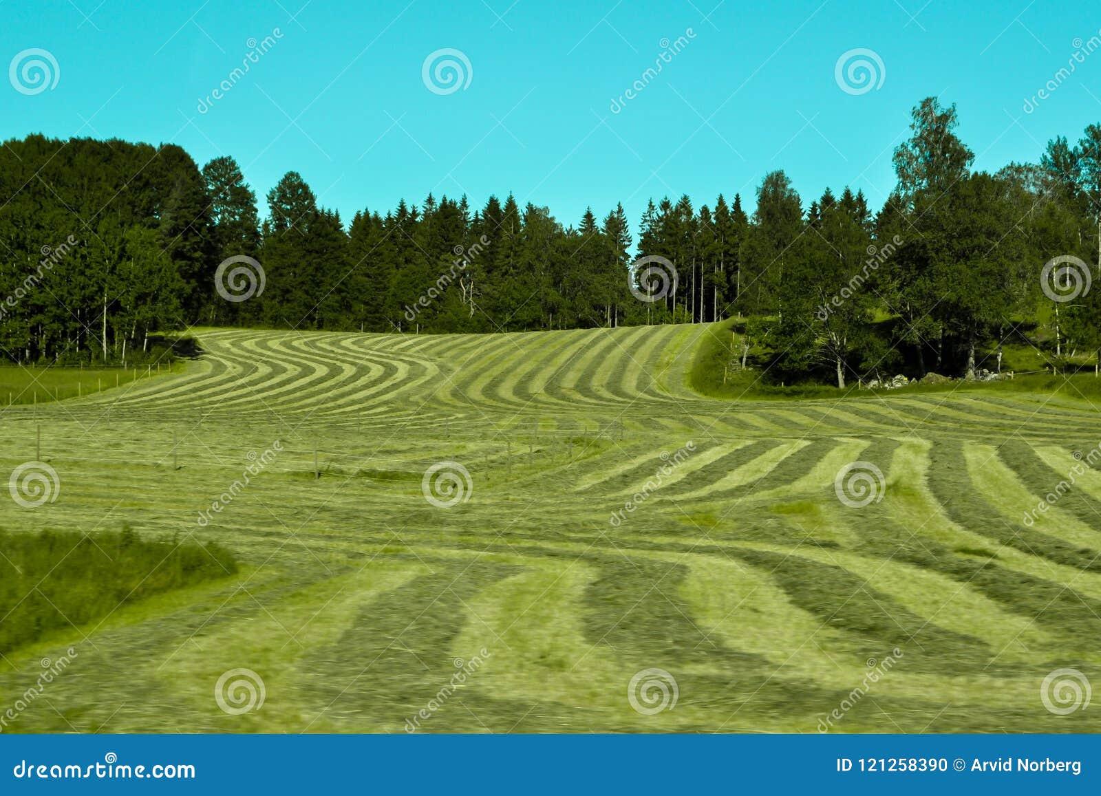 Corte recientemente la hierba en líneas