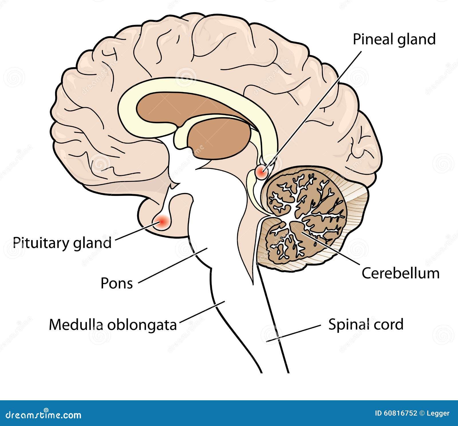 Corte Transversal Del Cerebro Ilustración del Vector - Ilustración ...