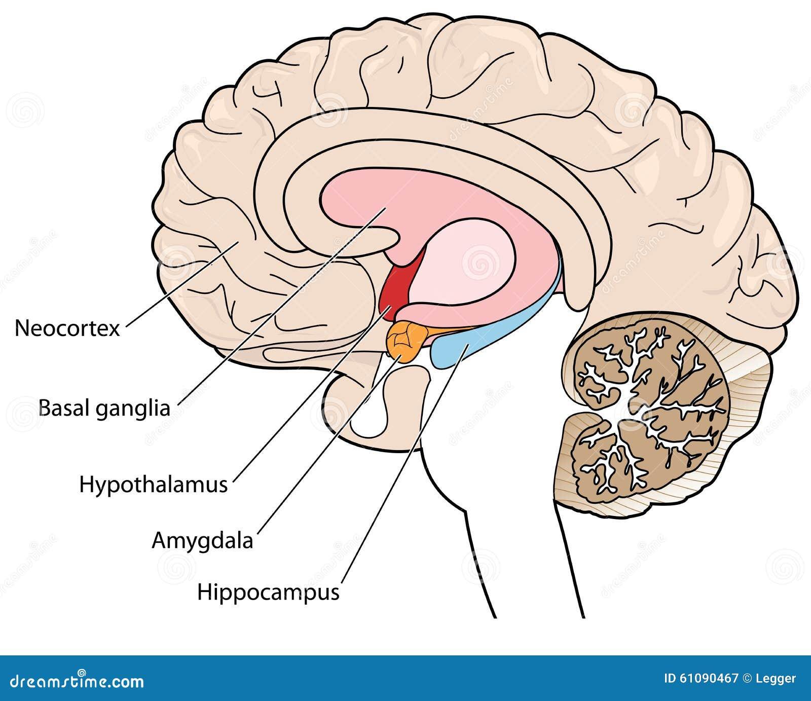 Corte Transversal Del Cerebro Que Muestra Los Ganglios Básicos Y El ...