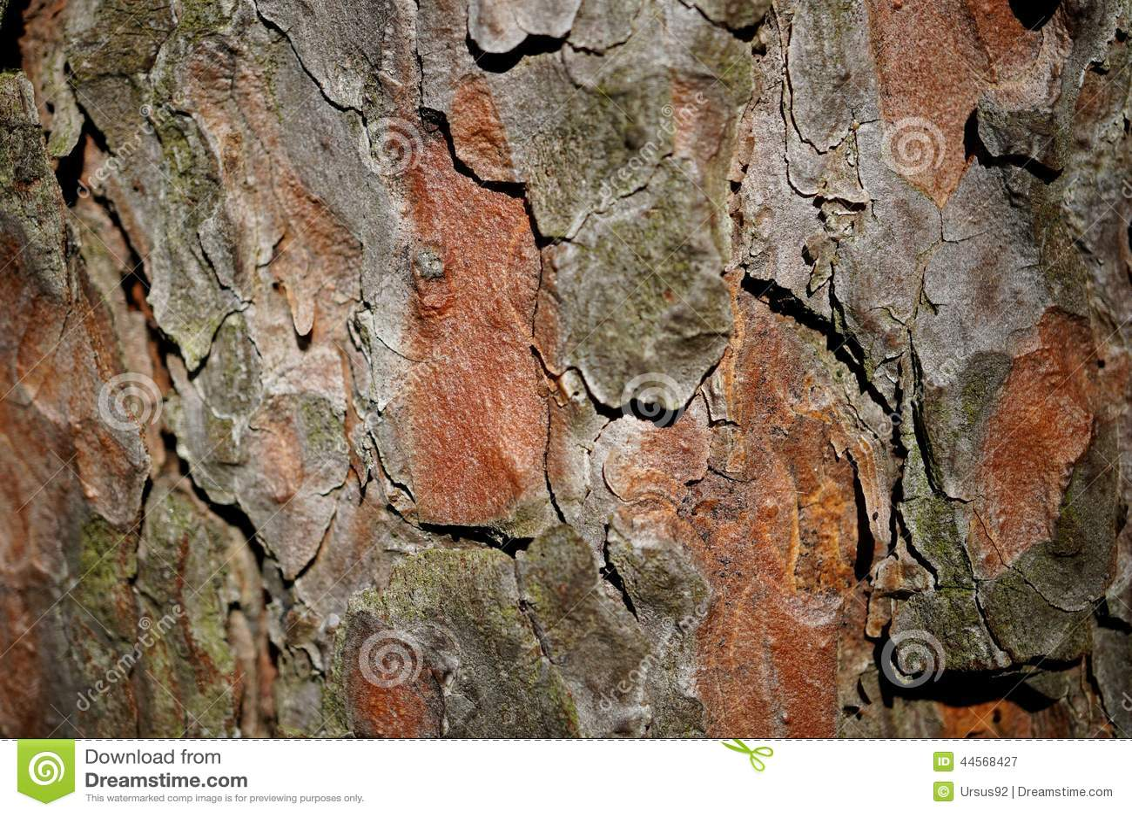 Corteccia del pino
