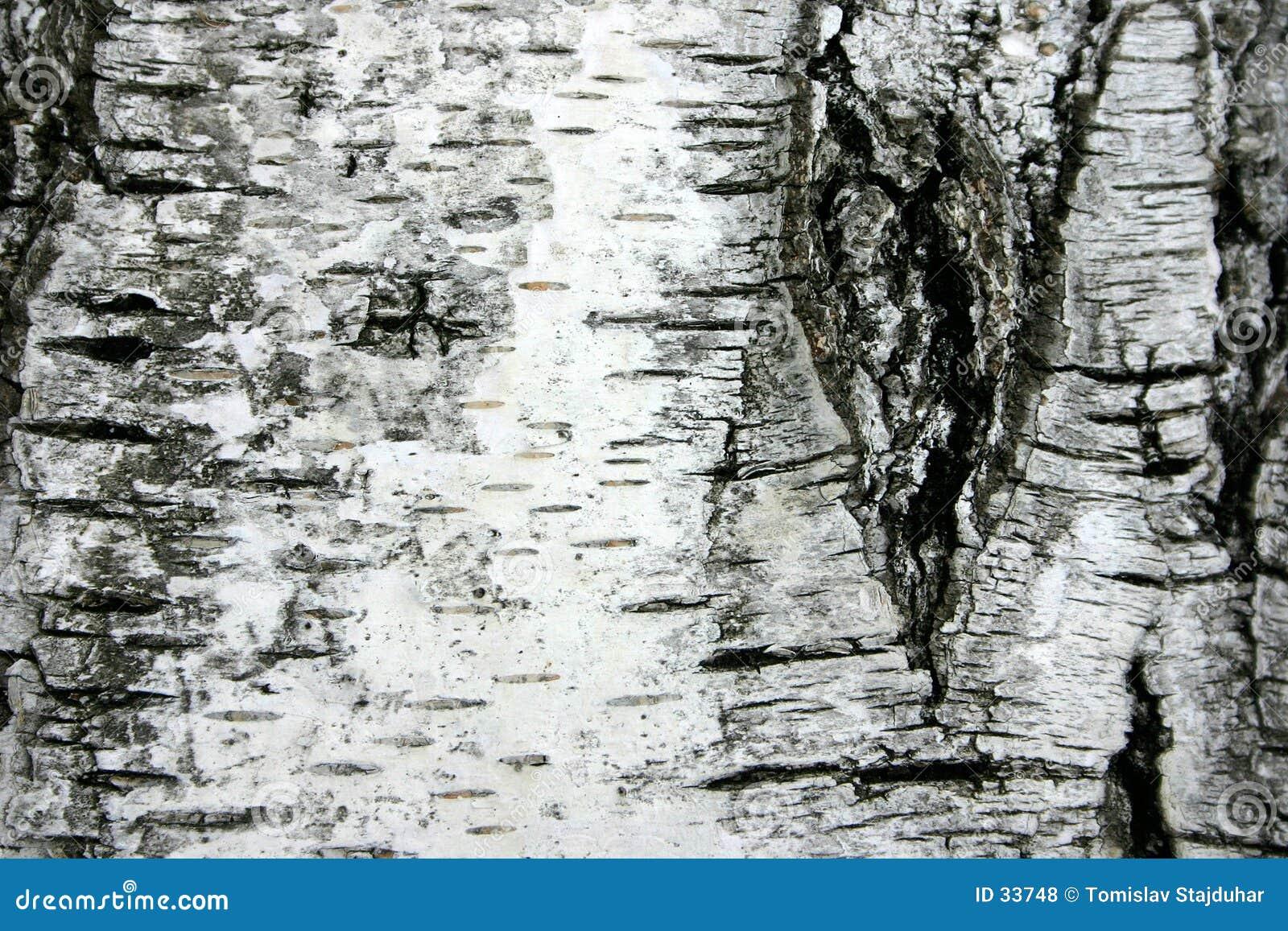 Corteccia dell albero di betulla
