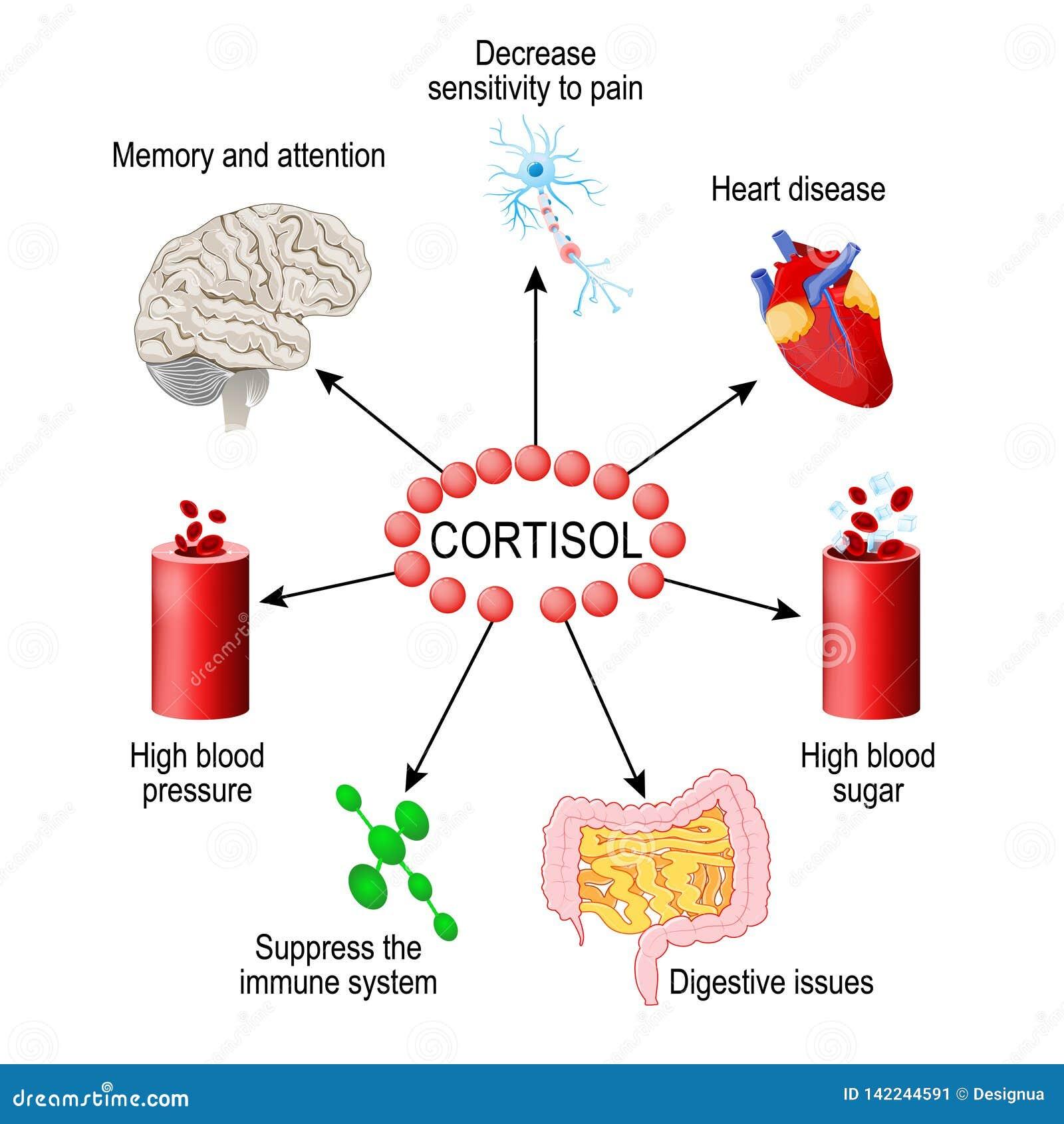 Cortisol ορμόνη Ανθρώπινο ενδοκρινές σύστημα