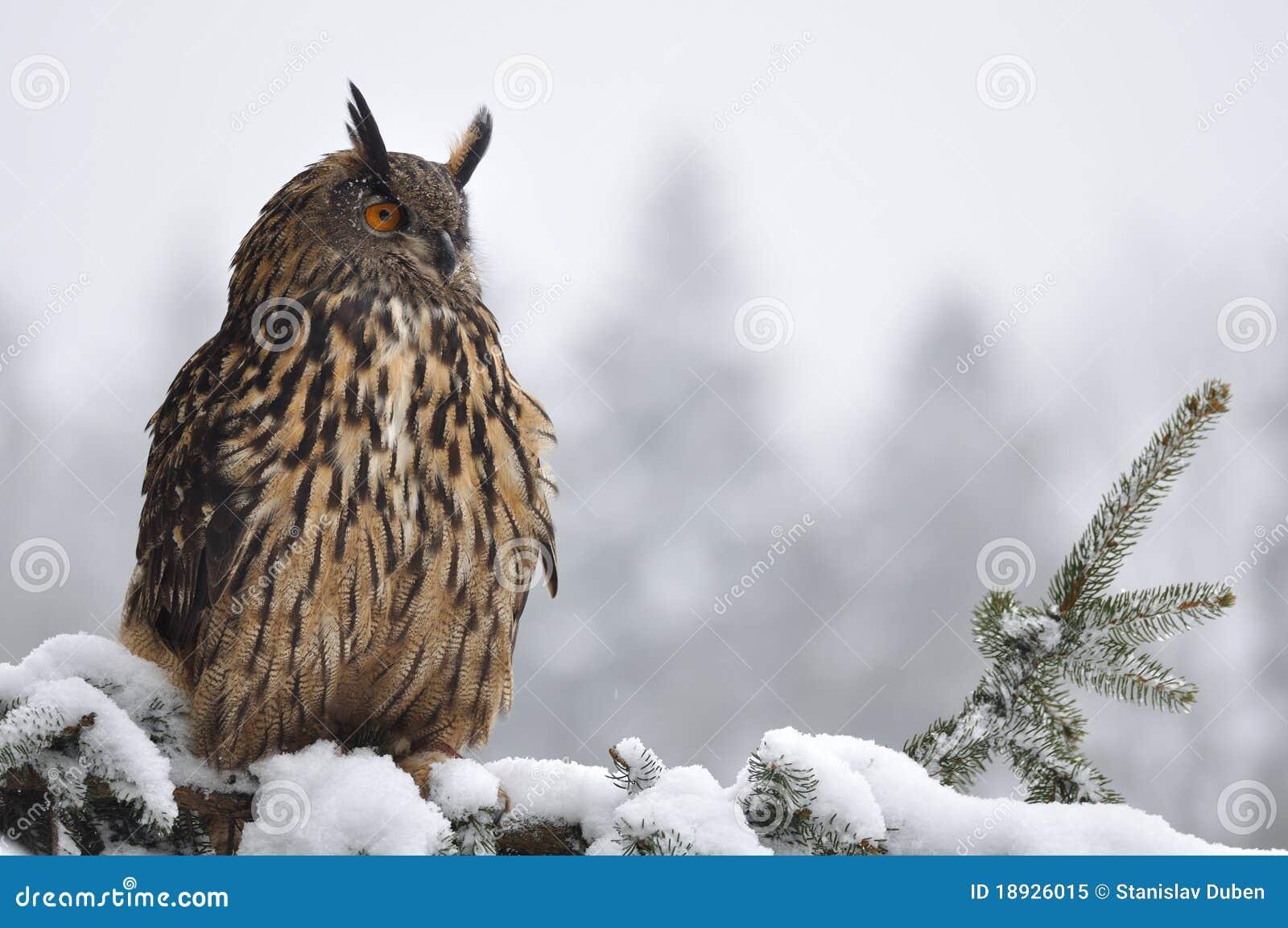 Coruja de águia euro-asiática que senta-se na árvore conífera