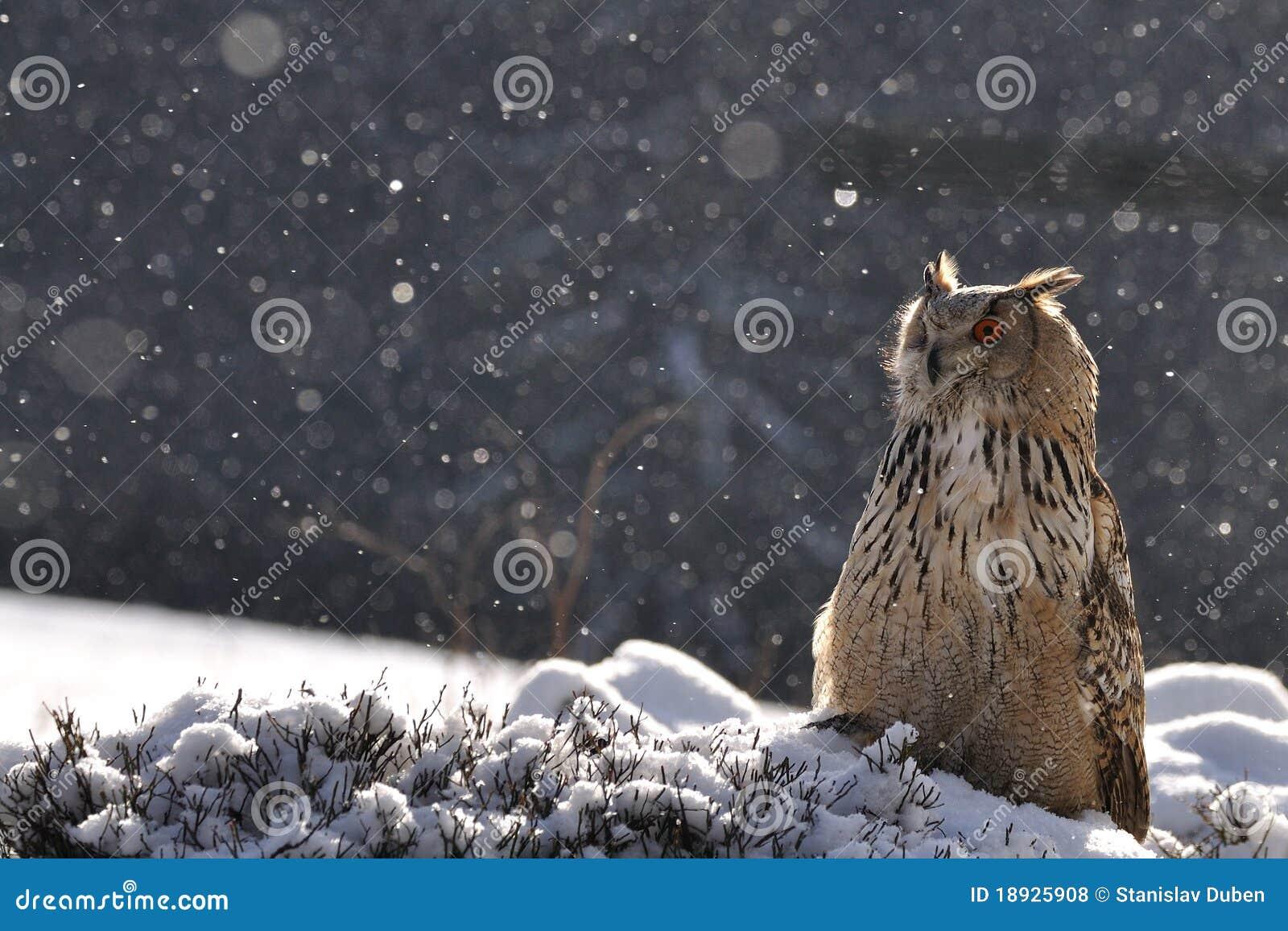 Coruja de águia euro-asiática que senta-se na terra ao nevar
