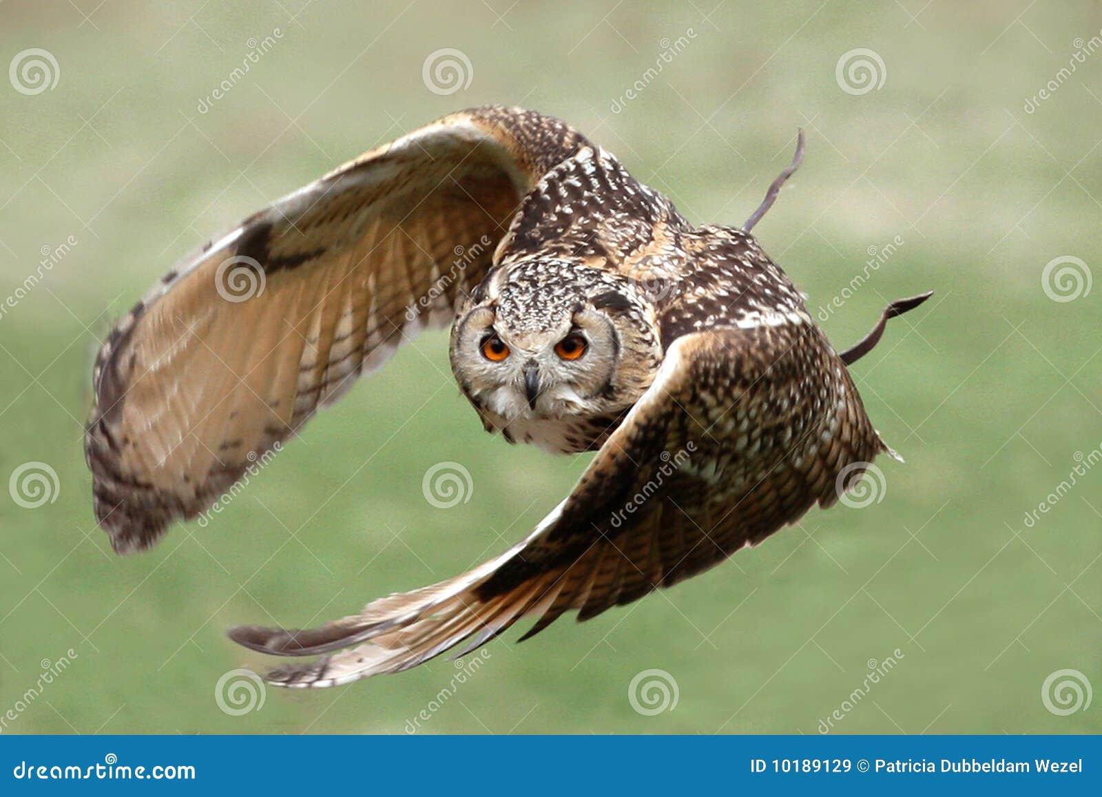 Coruja de águia no vôo