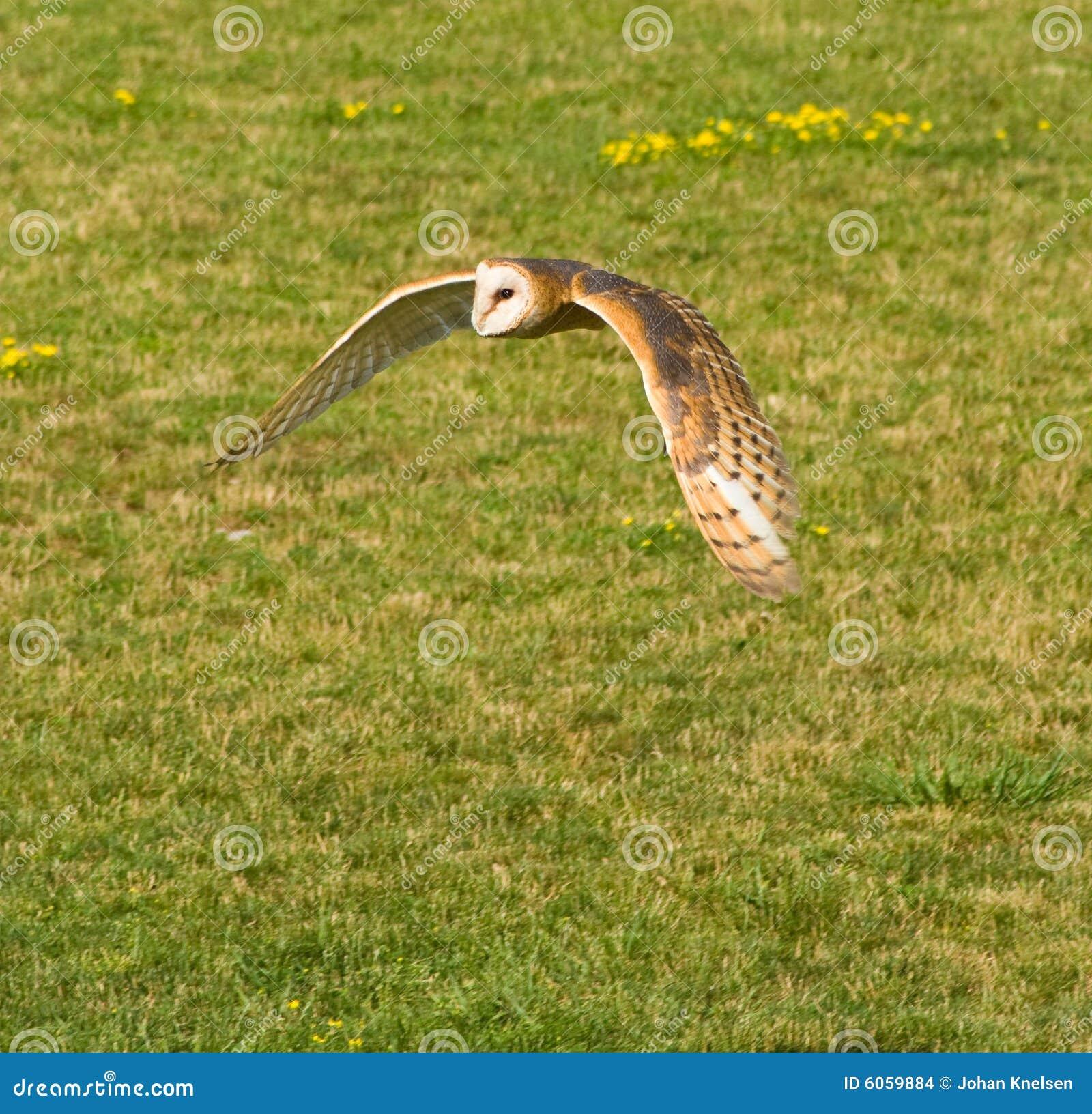 Coruja de celeiro