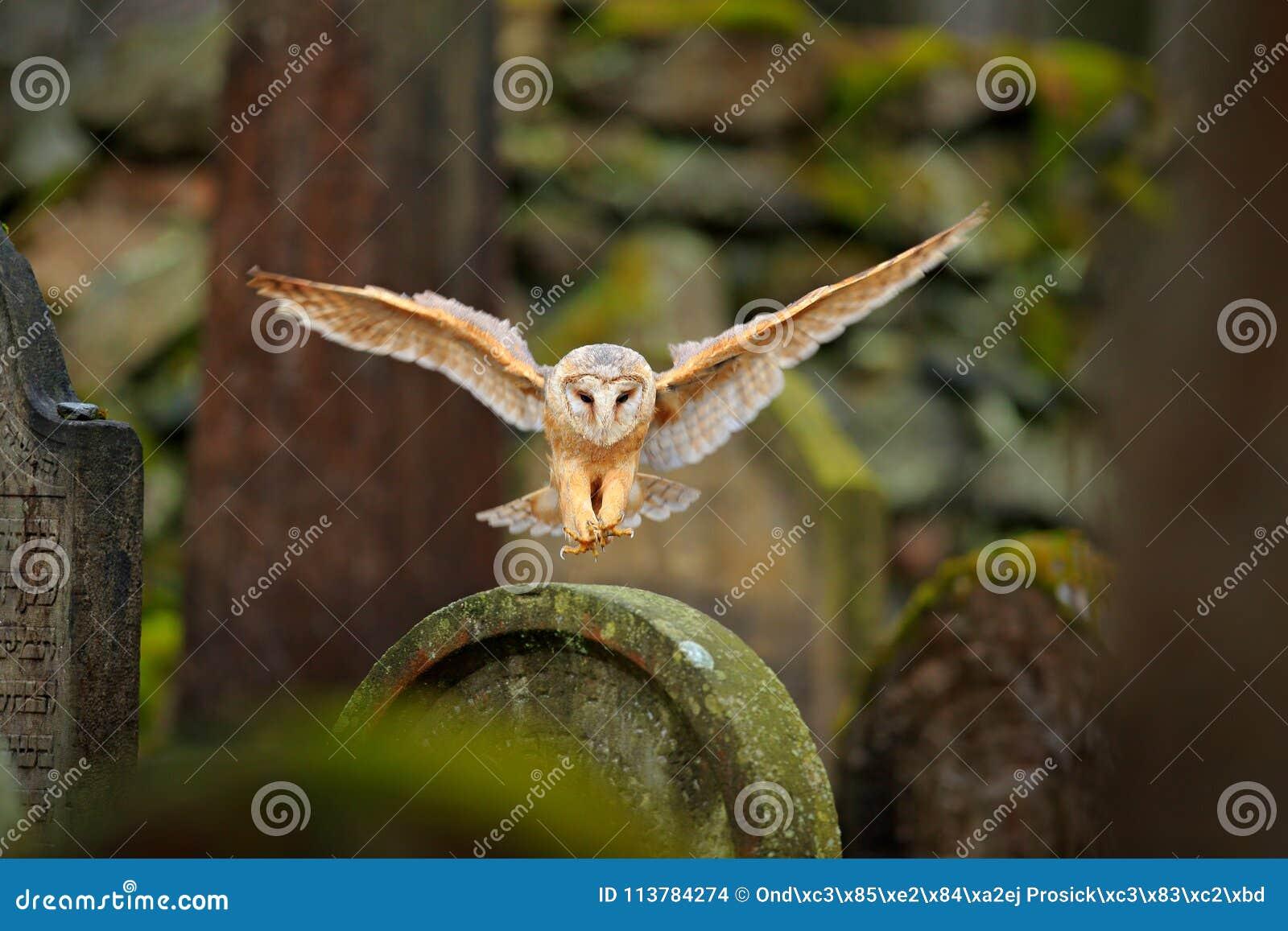 Coruja de celeiro mágica do pássaro, Tito alba, voando acima da cerca de pedra no cemitério da floresta Natureza da cena dos anim