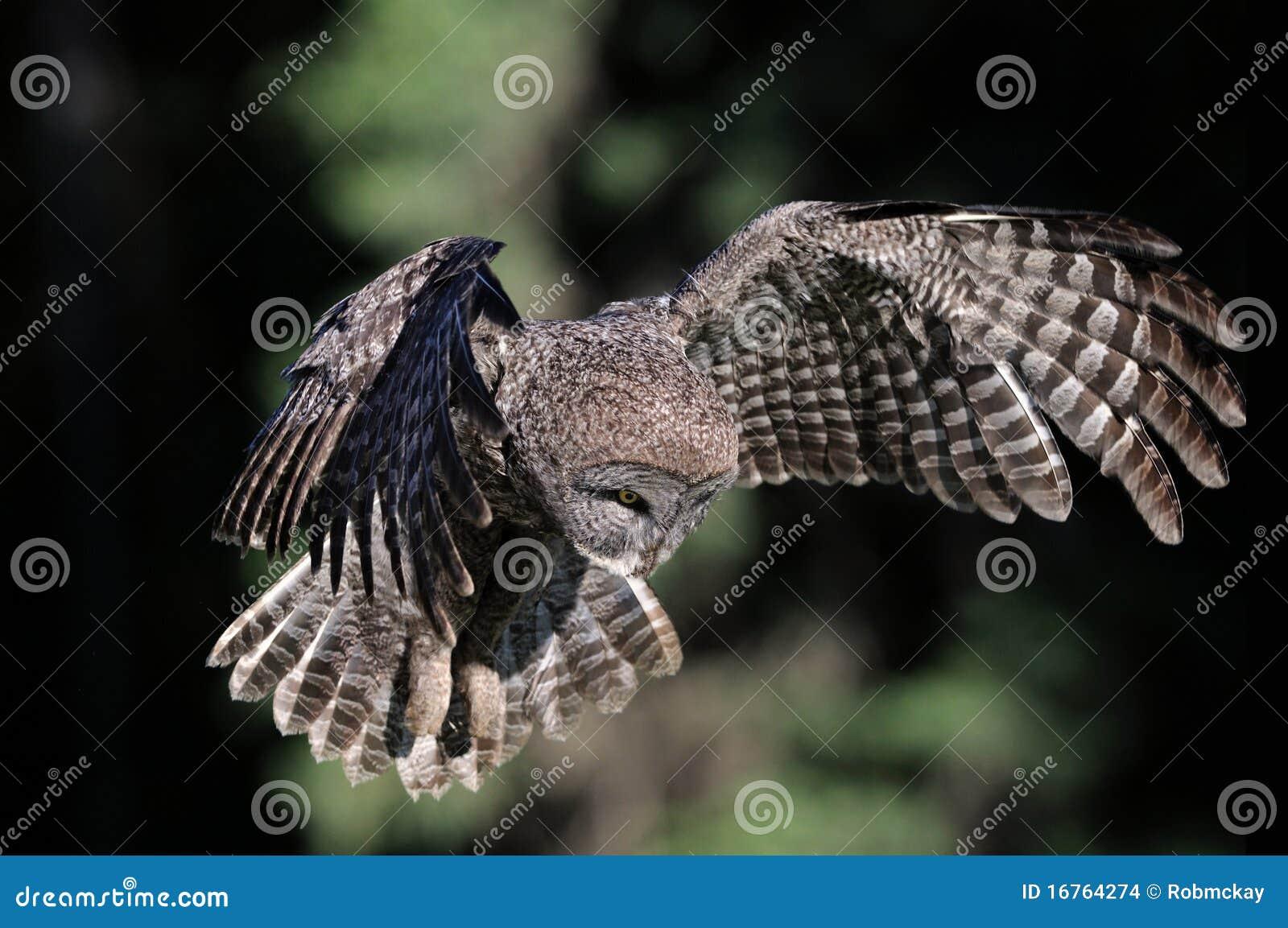 Coruja de grande cinza durante o vôo