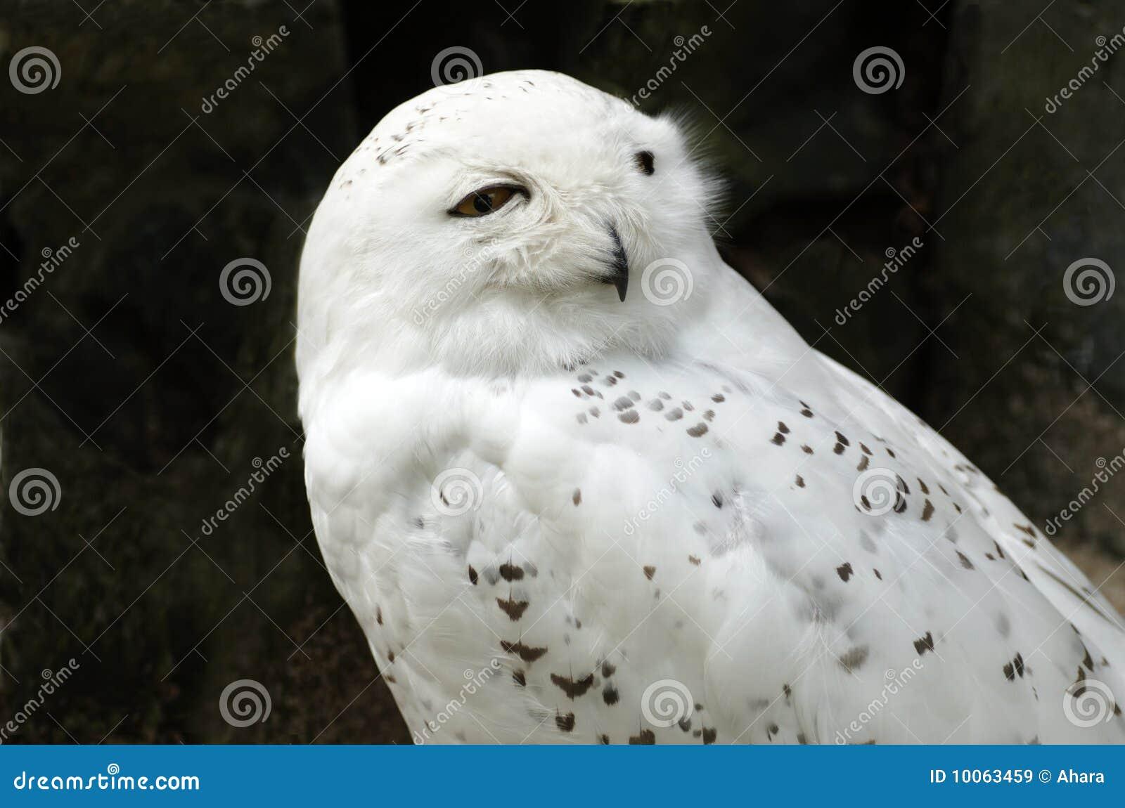 Coruja nevado branca