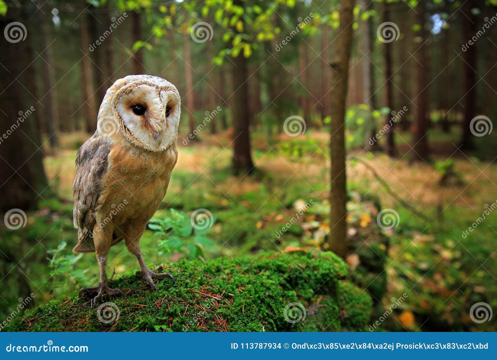 A coruja no assento da coruja de celeiro da floresta ongreen a pedra do mosse na floresta na noite - foto com a lente larga que i