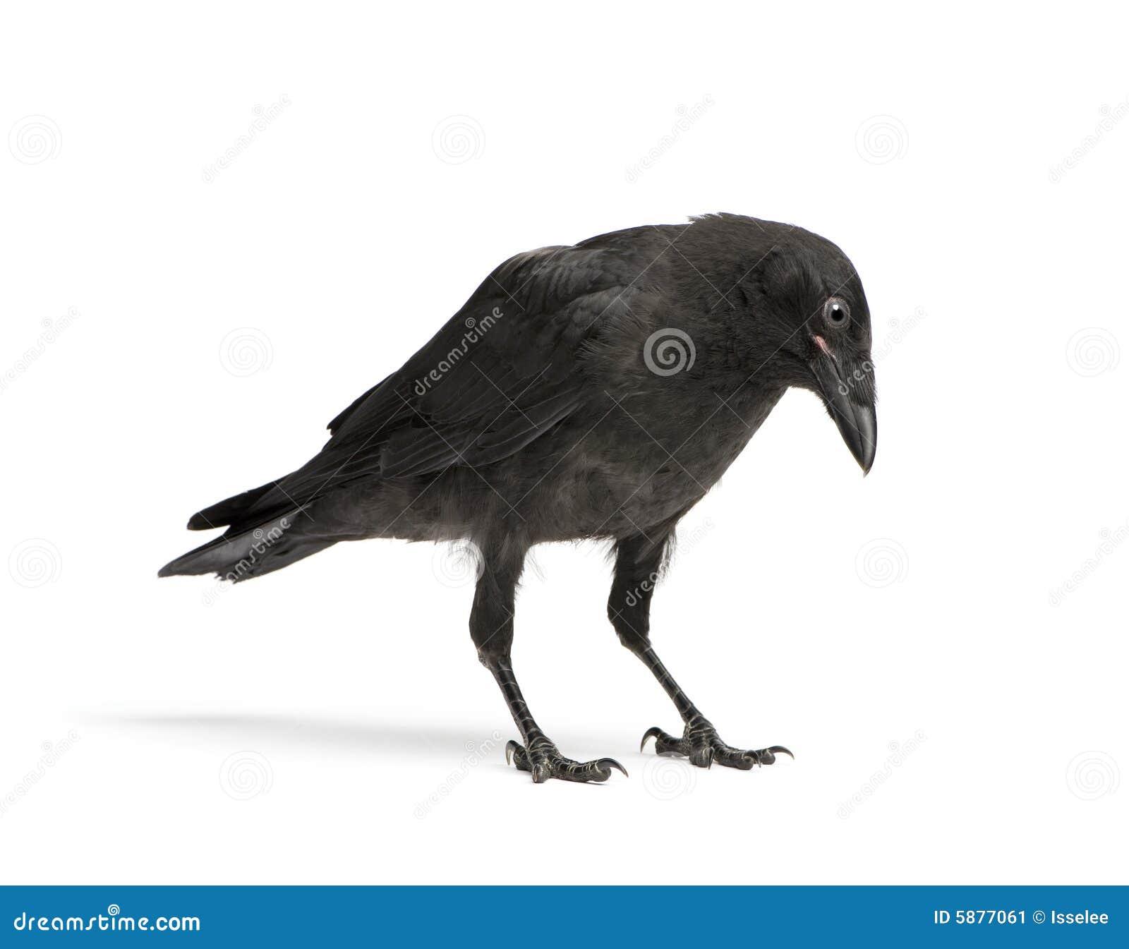 Corvo de Carrion novo - corone do Corvus (3 meses)