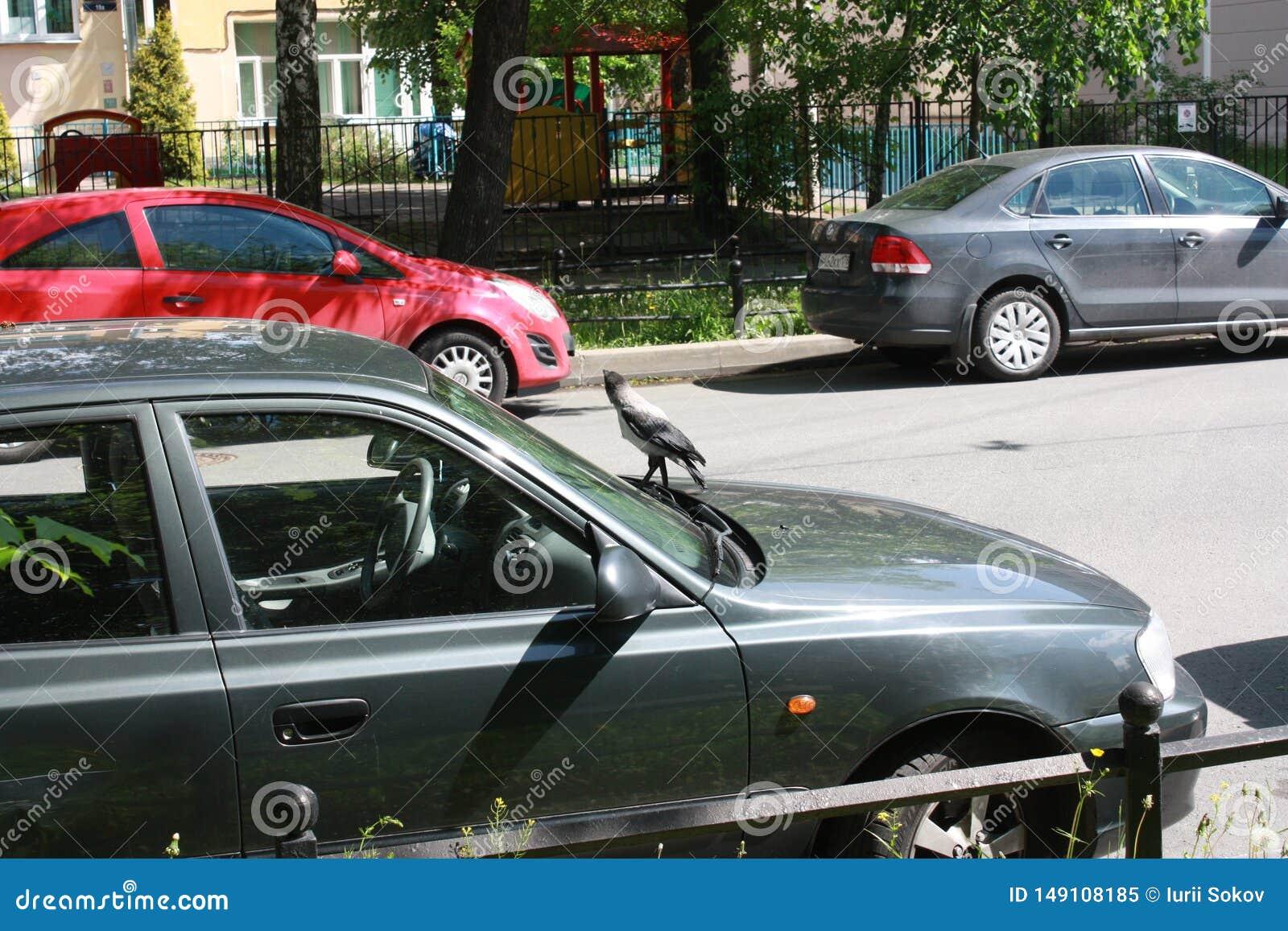Corvo e carros na rua em Petersburgo